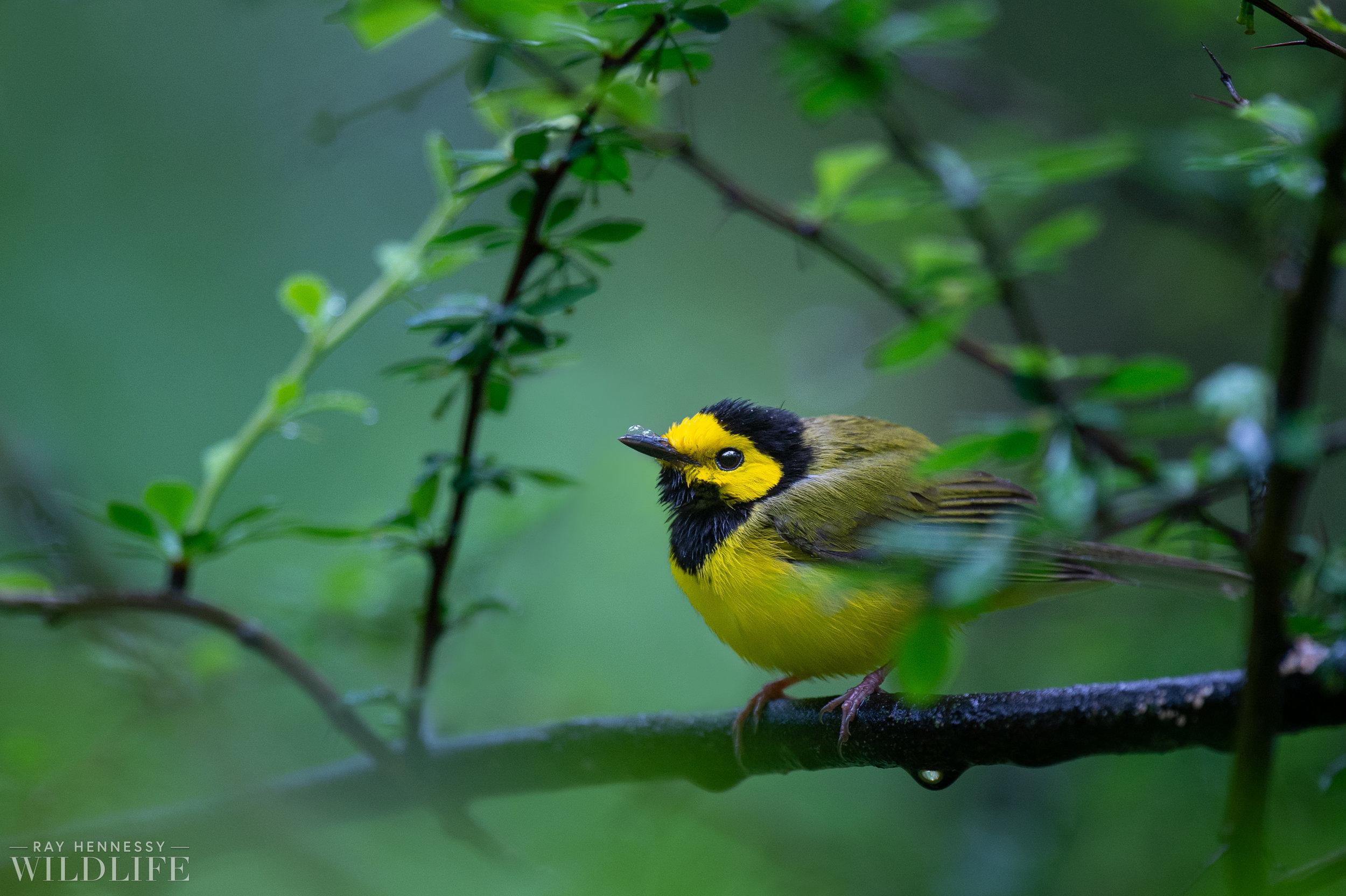 005_northern-new-jersey-warblers.jpg