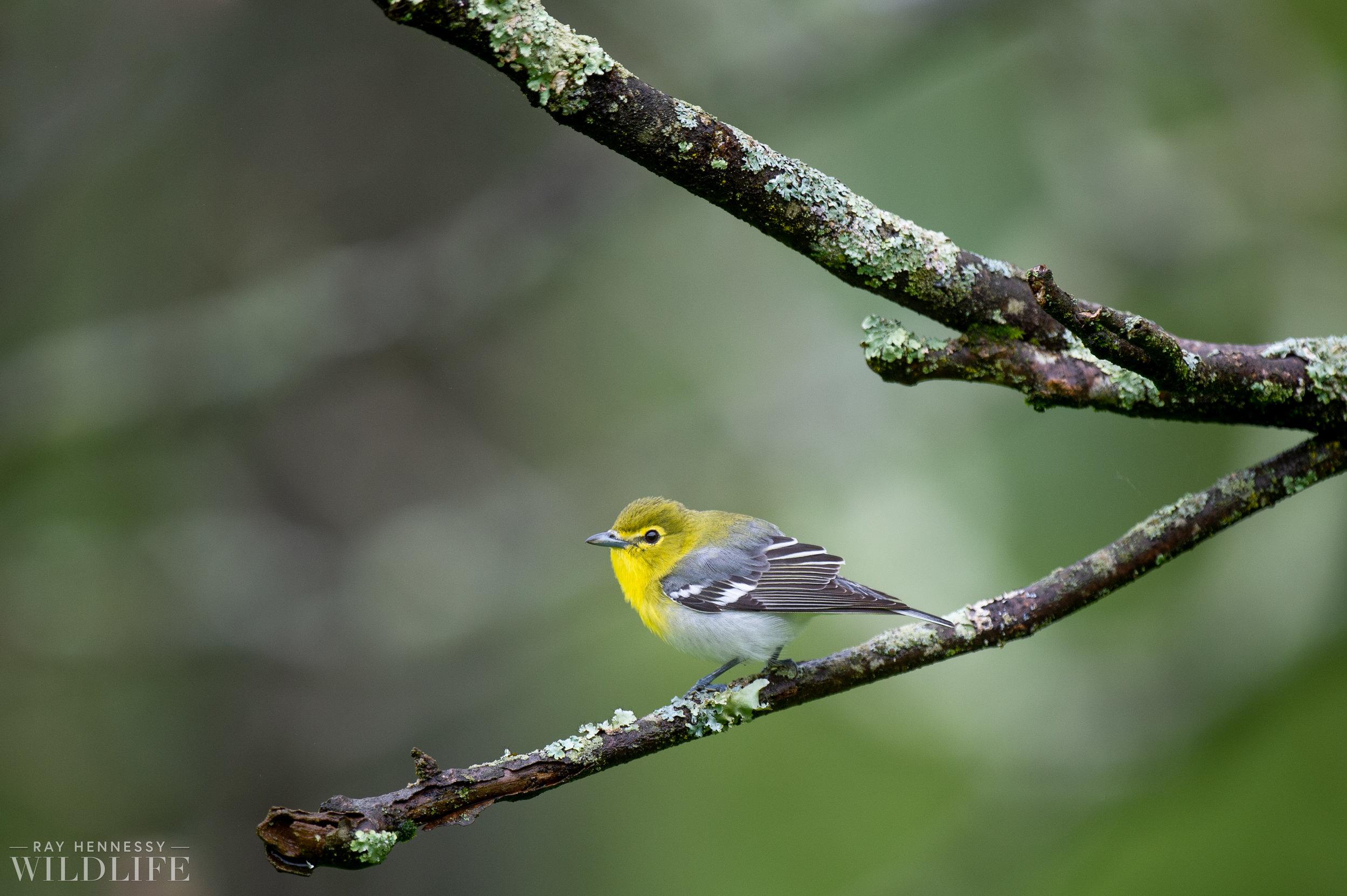 011_northern-new-jersey-warblers.jpg