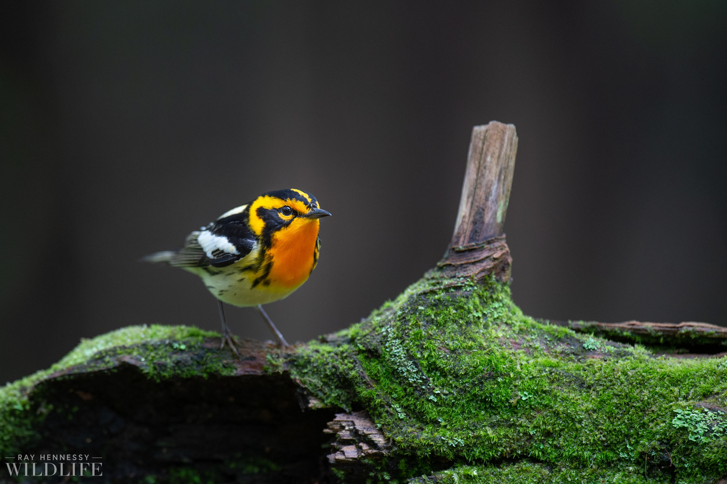 014_northern-new-jersey-warblers.jpg