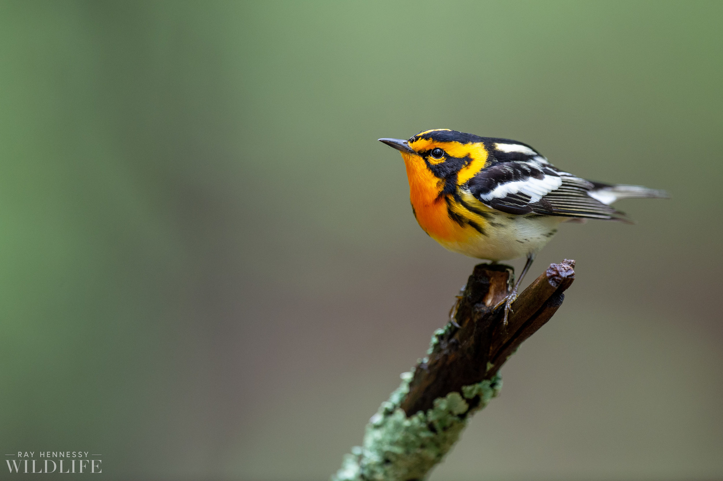 020_northern-new-jersey-warblers.jpg