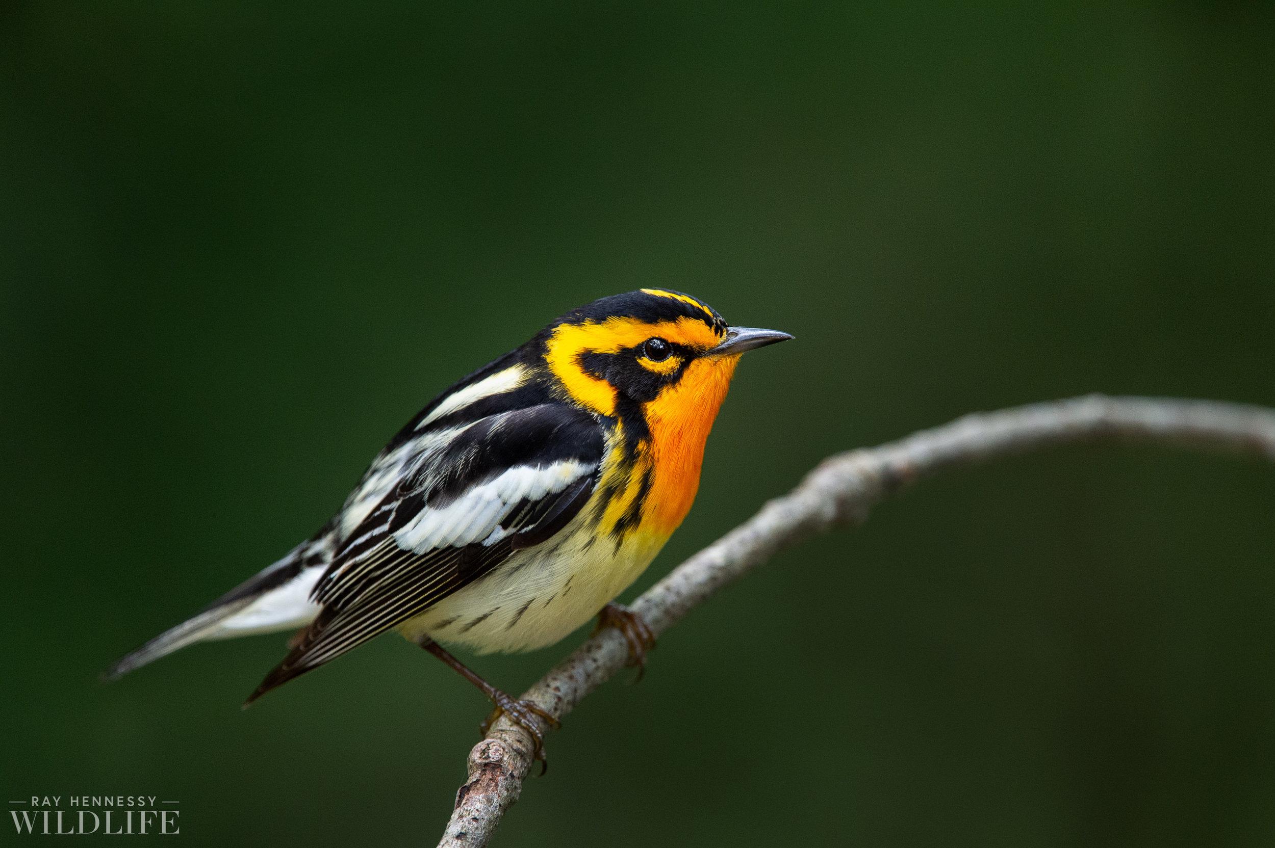 022_northern-new-jersey-warblers.jpg