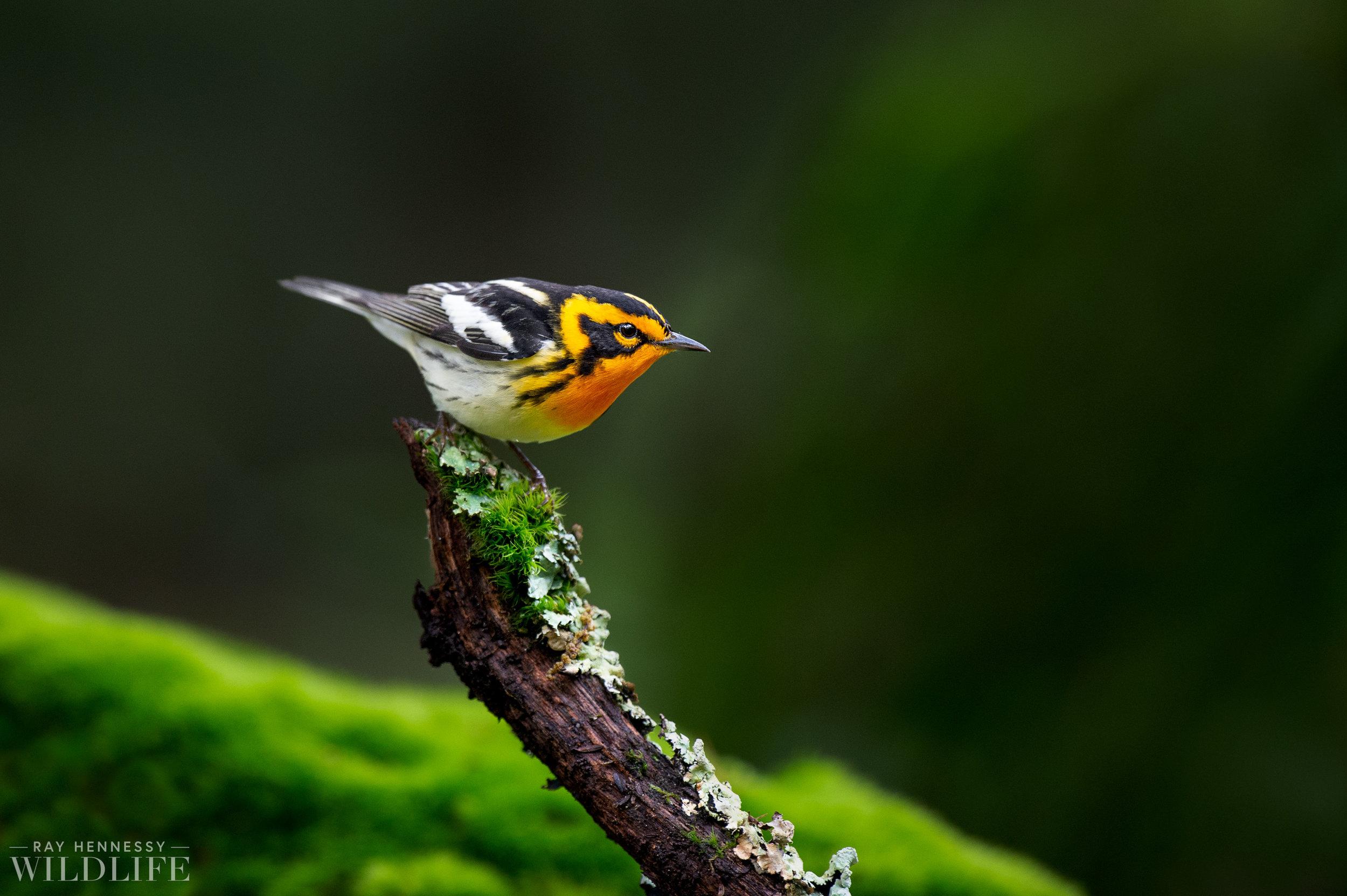 024_northern-new-jersey-warblers.jpg
