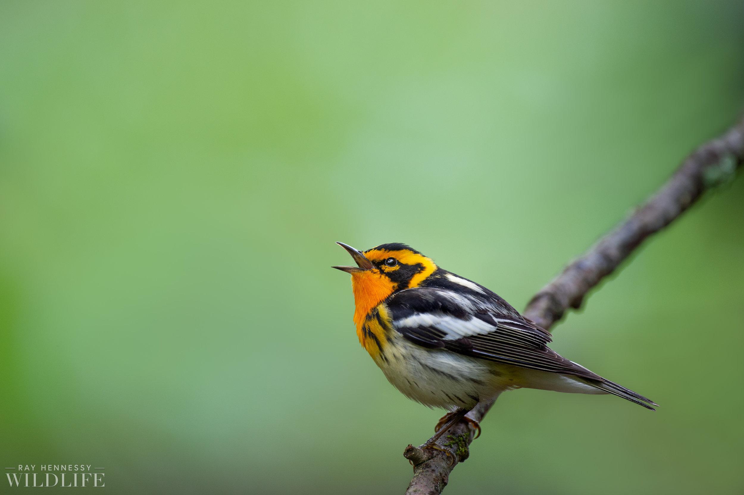 026_northern-new-jersey-warblers.jpg