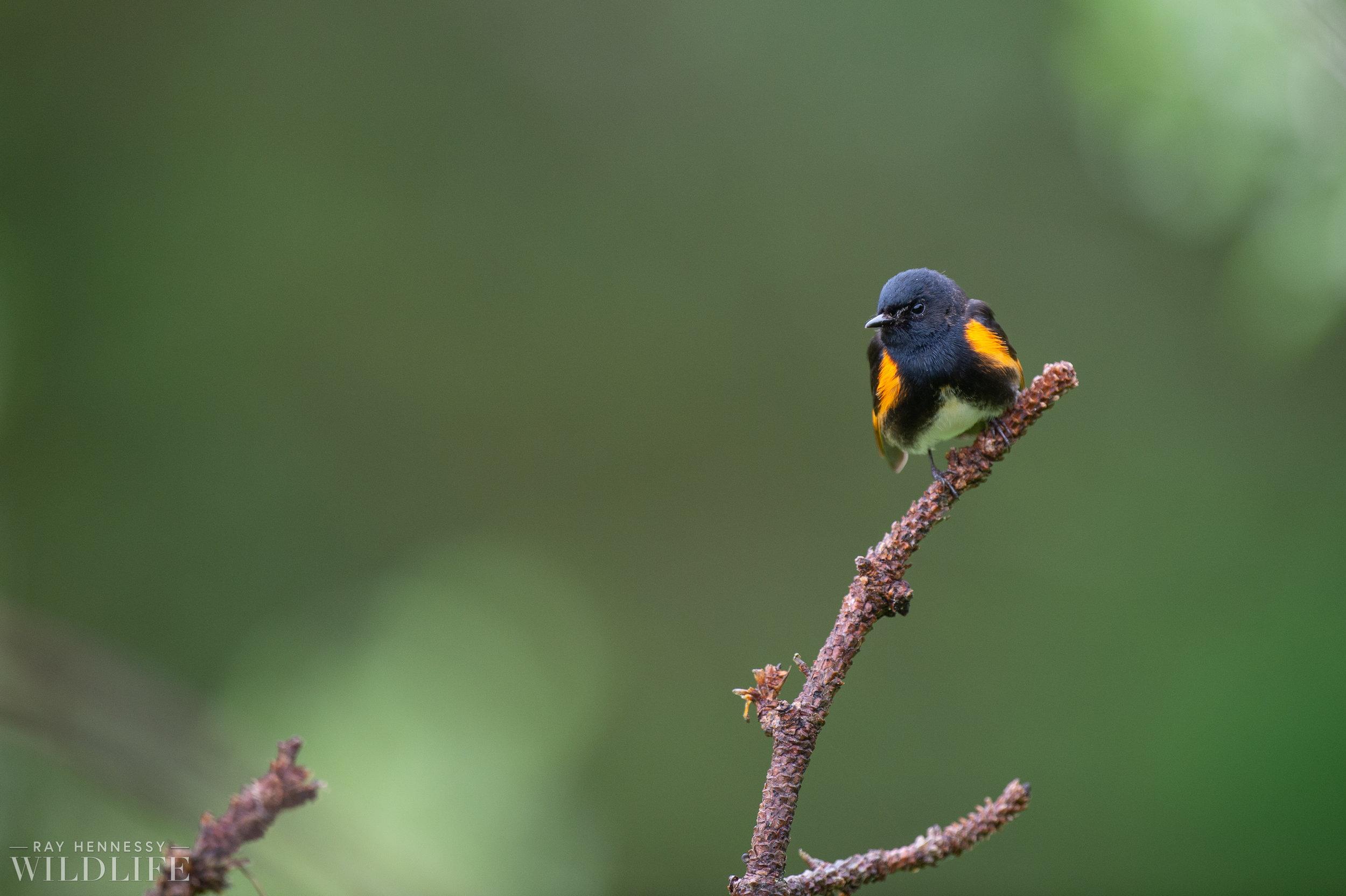 031_northern-new-jersey-warblers.jpg