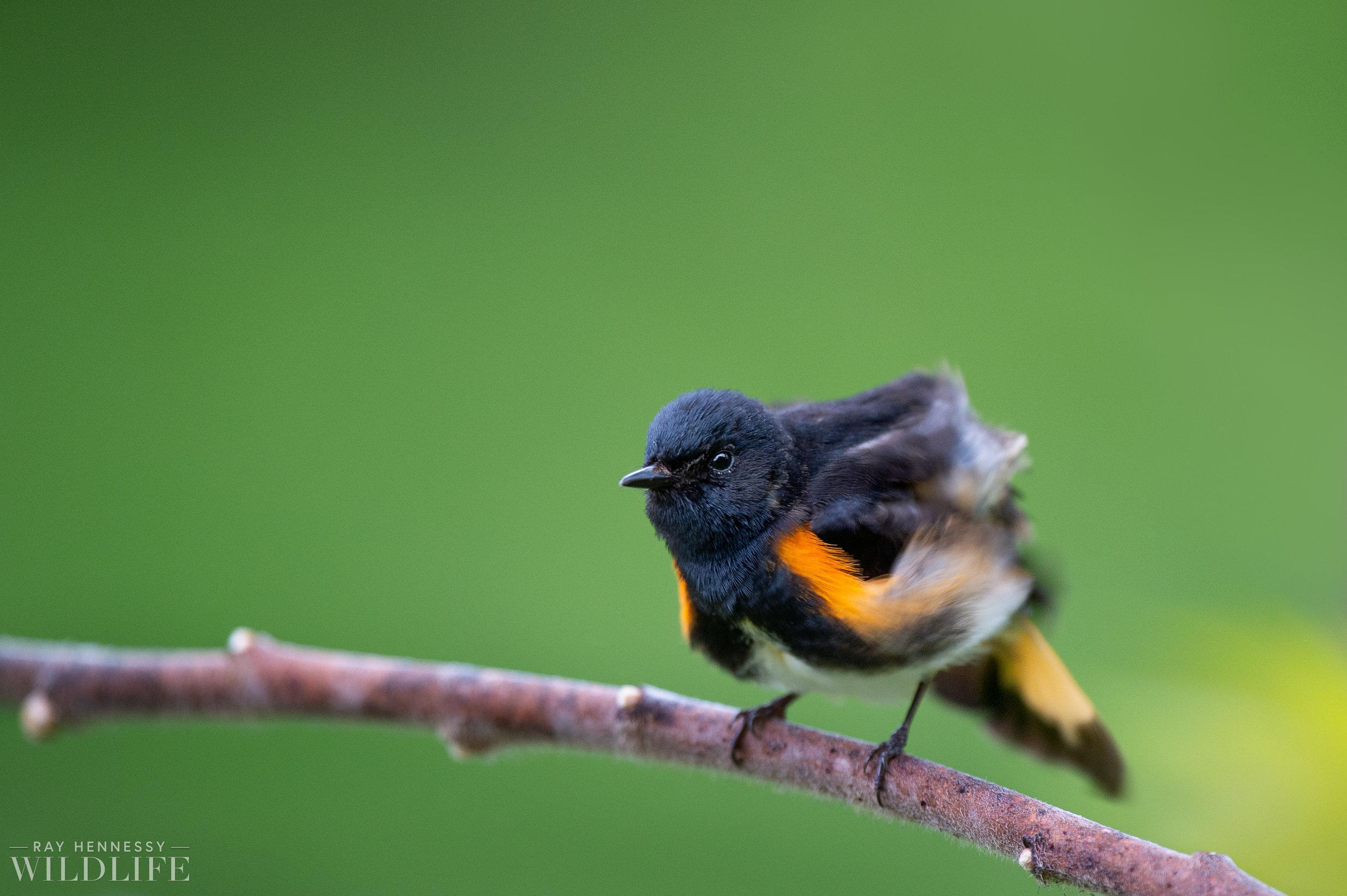 036_northern-new-jersey-warblers.jpg