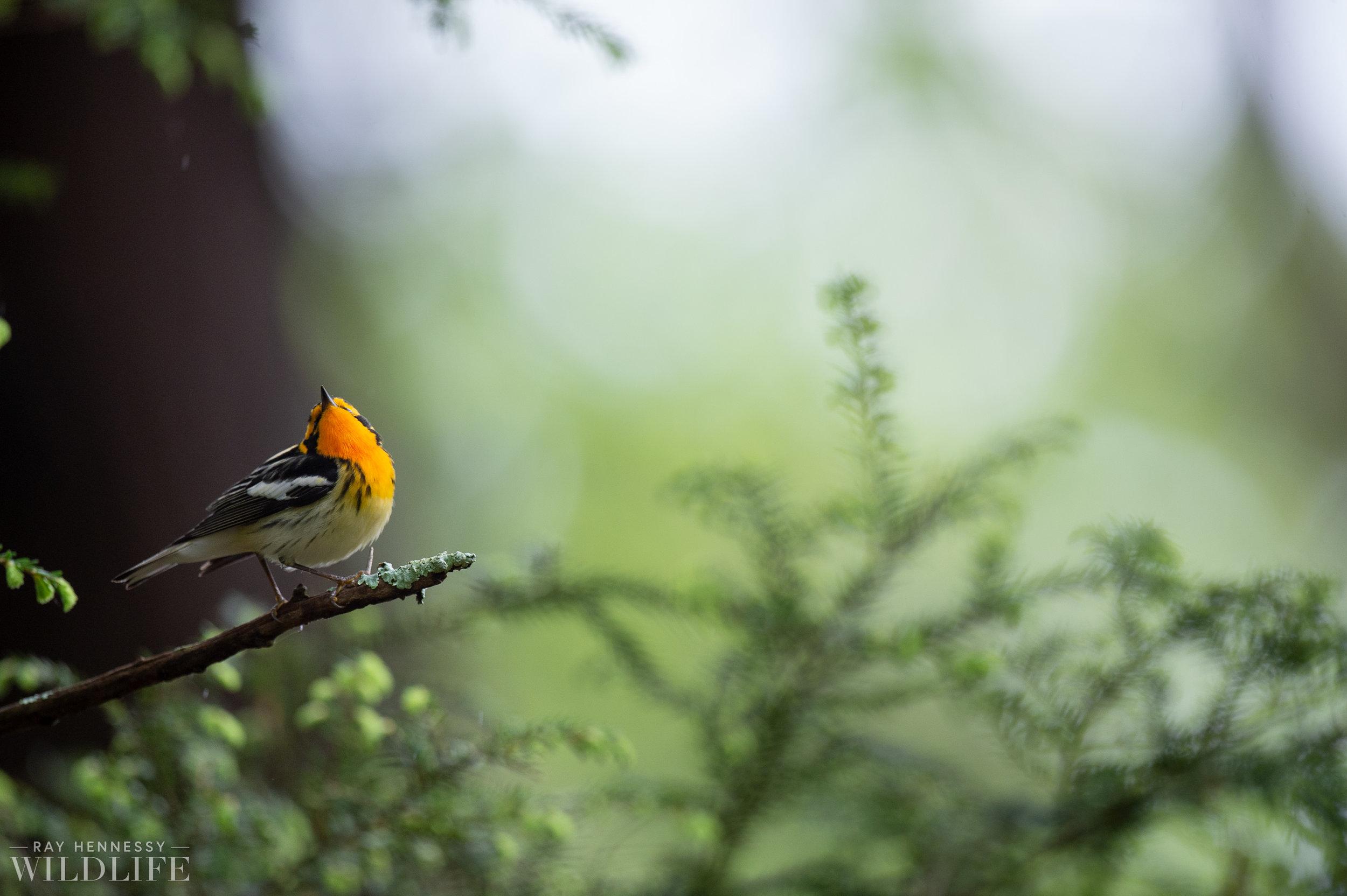 027_northern-new-jersey-warblers.jpg