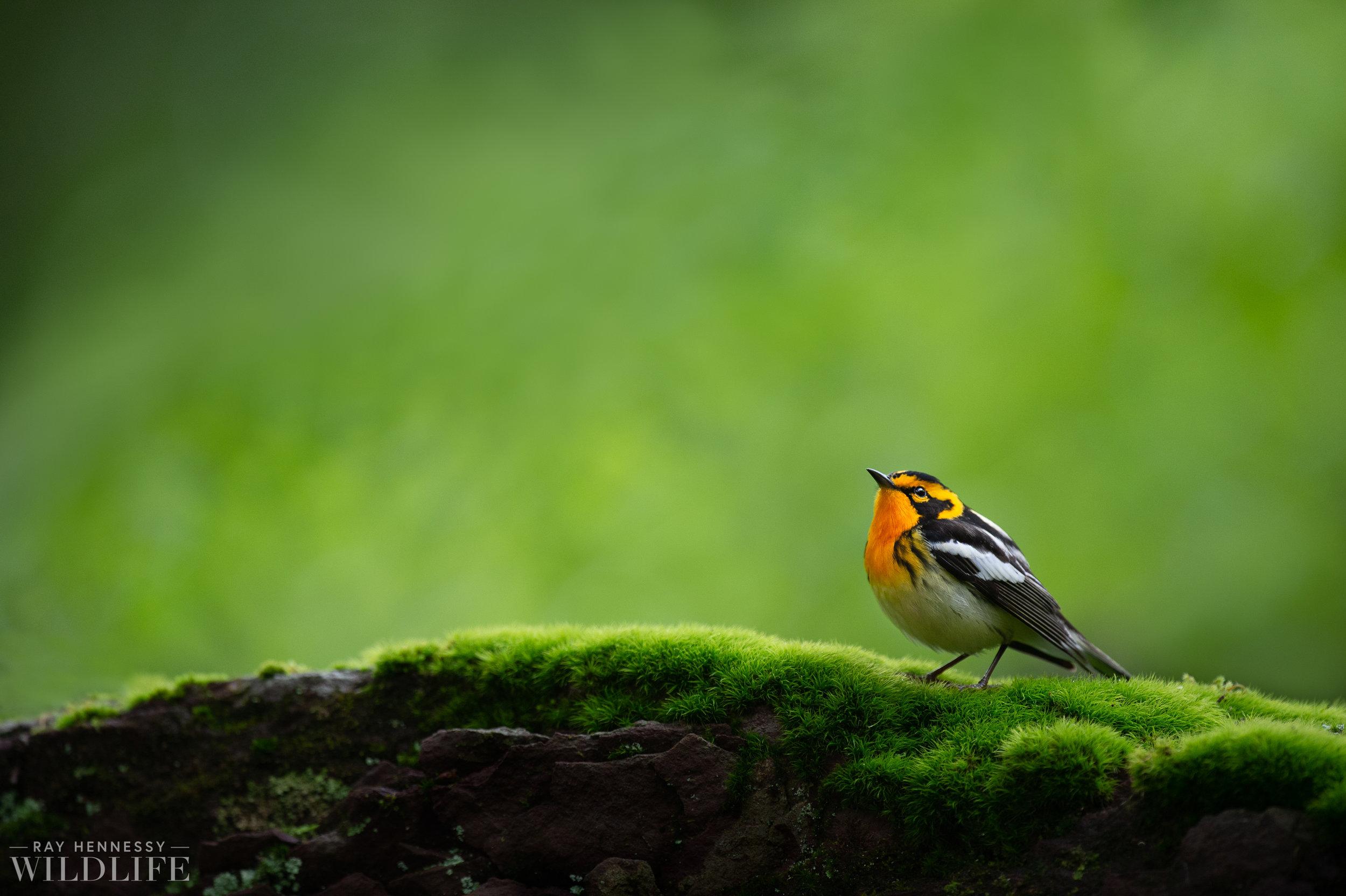 028_northern-new-jersey-warblers.jpg