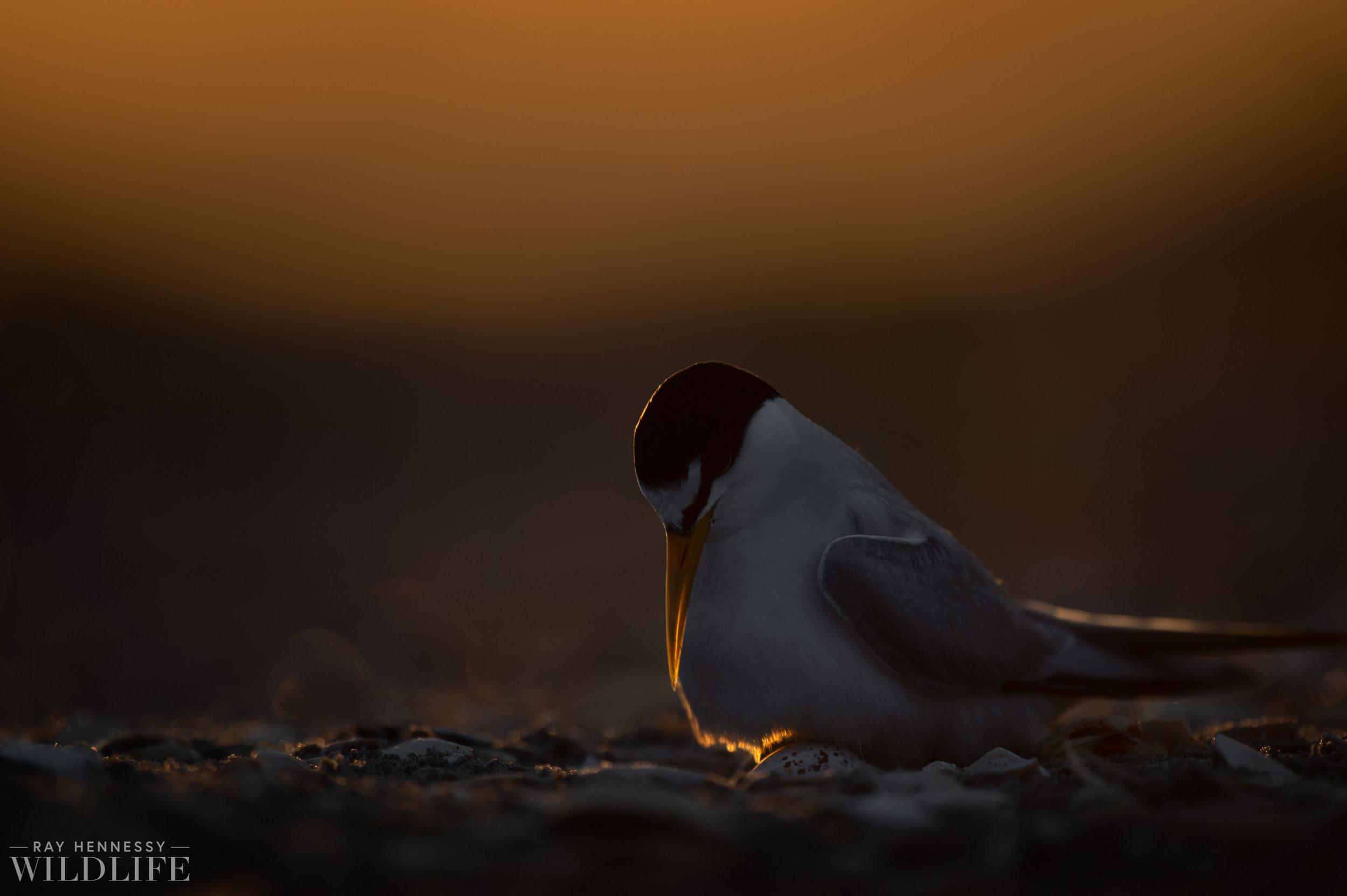 Least Tern Checks its Egg.jpg