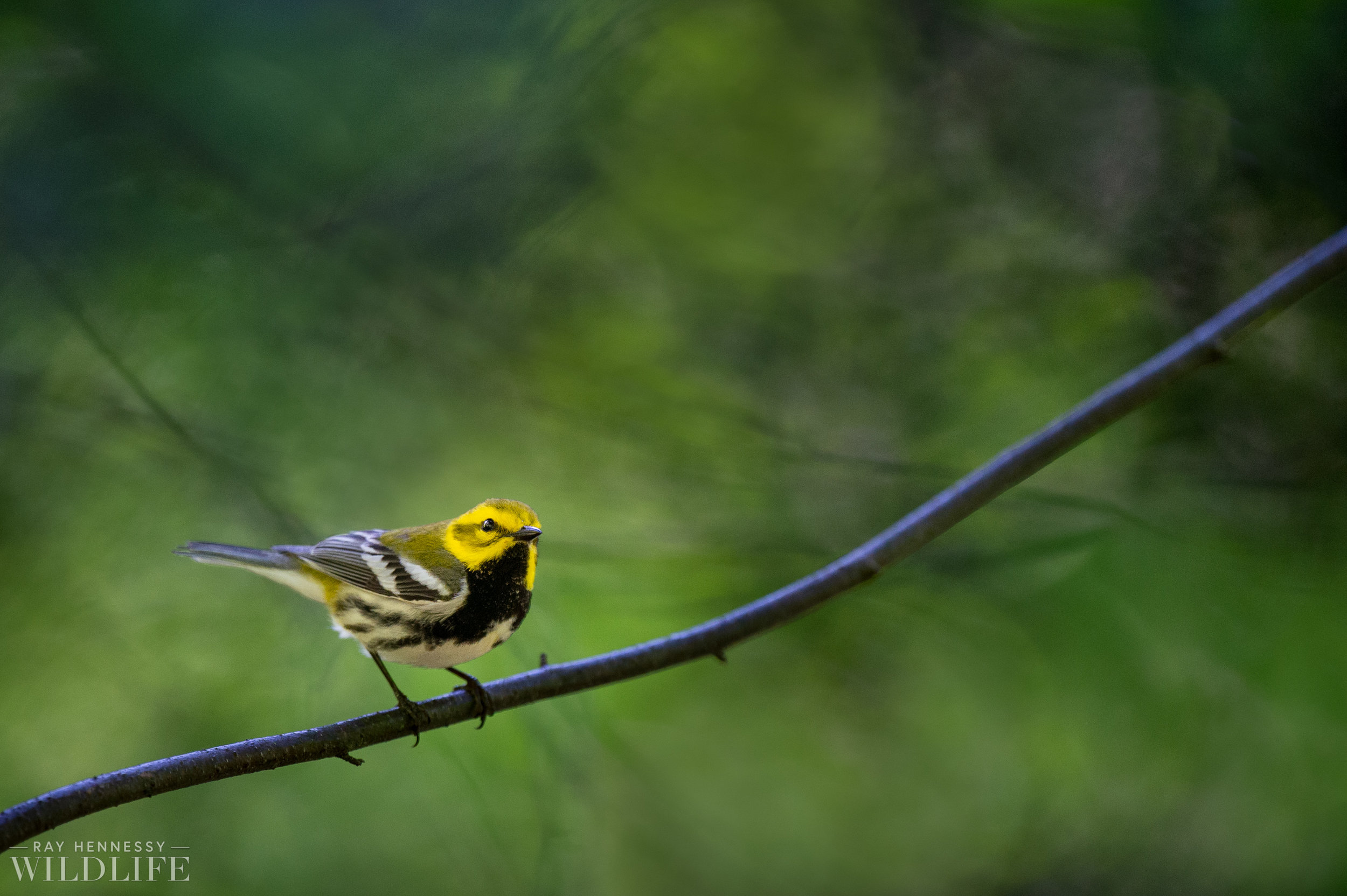 001_nothern-new-jersey-warblers.jpg