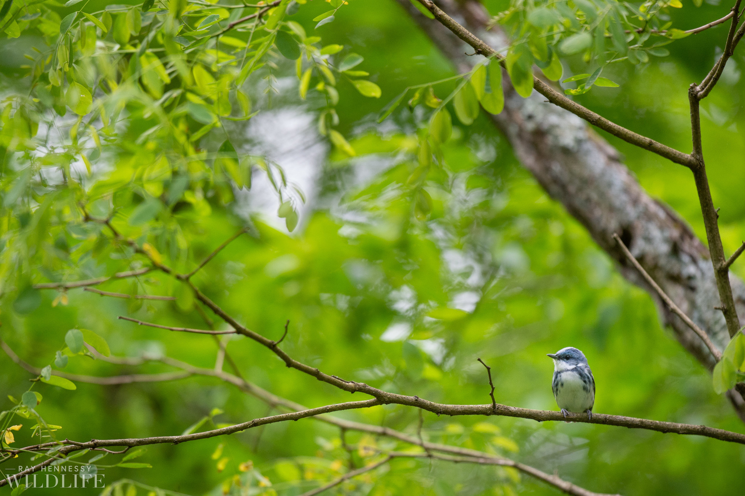 002_nothern-new-jersey-warblers.jpg