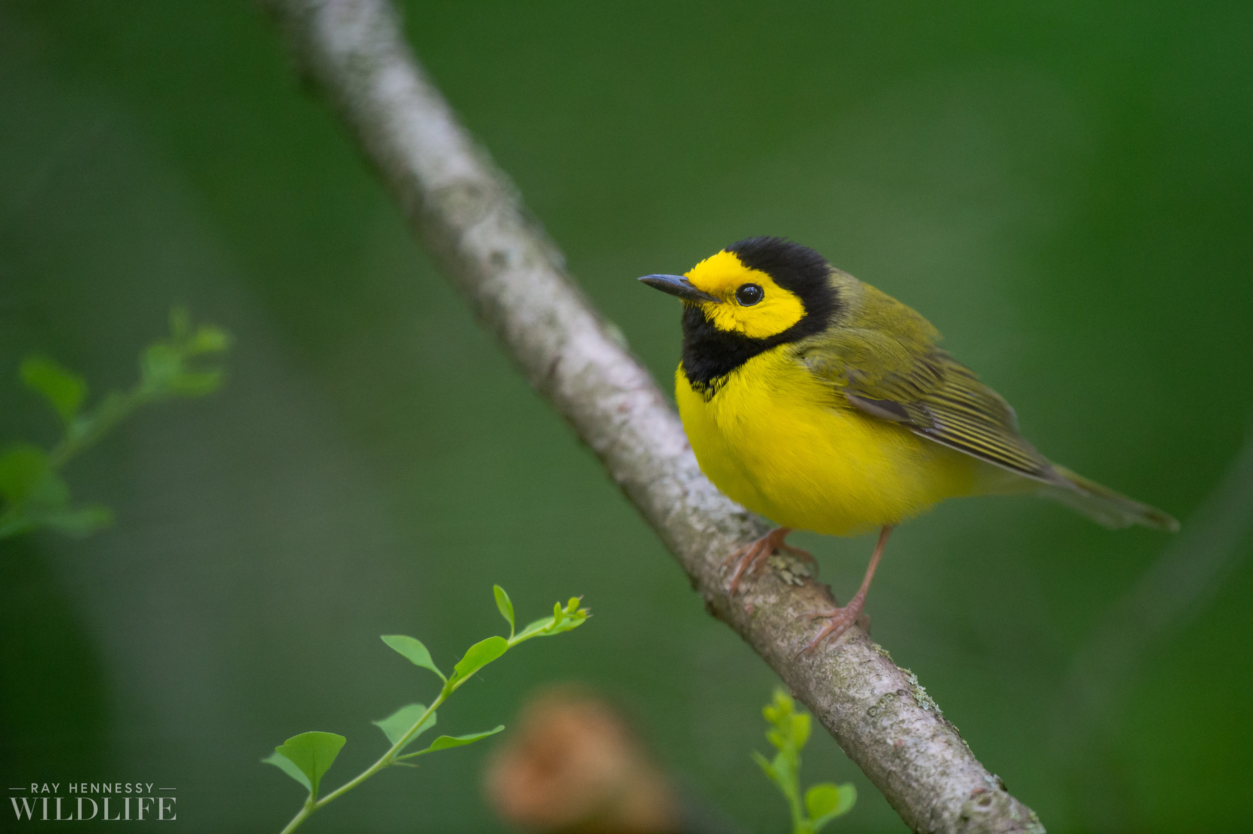 003_nothern-new-jersey-warblers.jpg