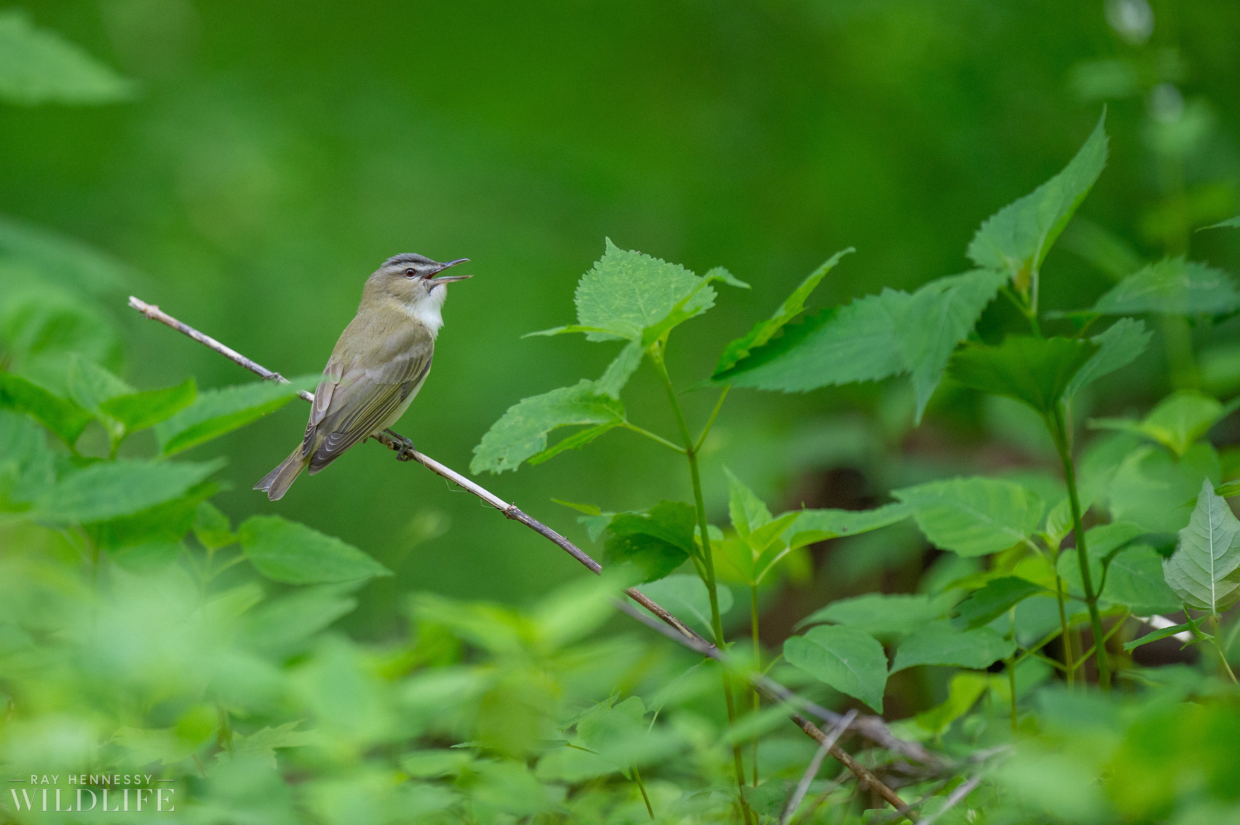 004_nothern-new-jersey-warblers.jpg