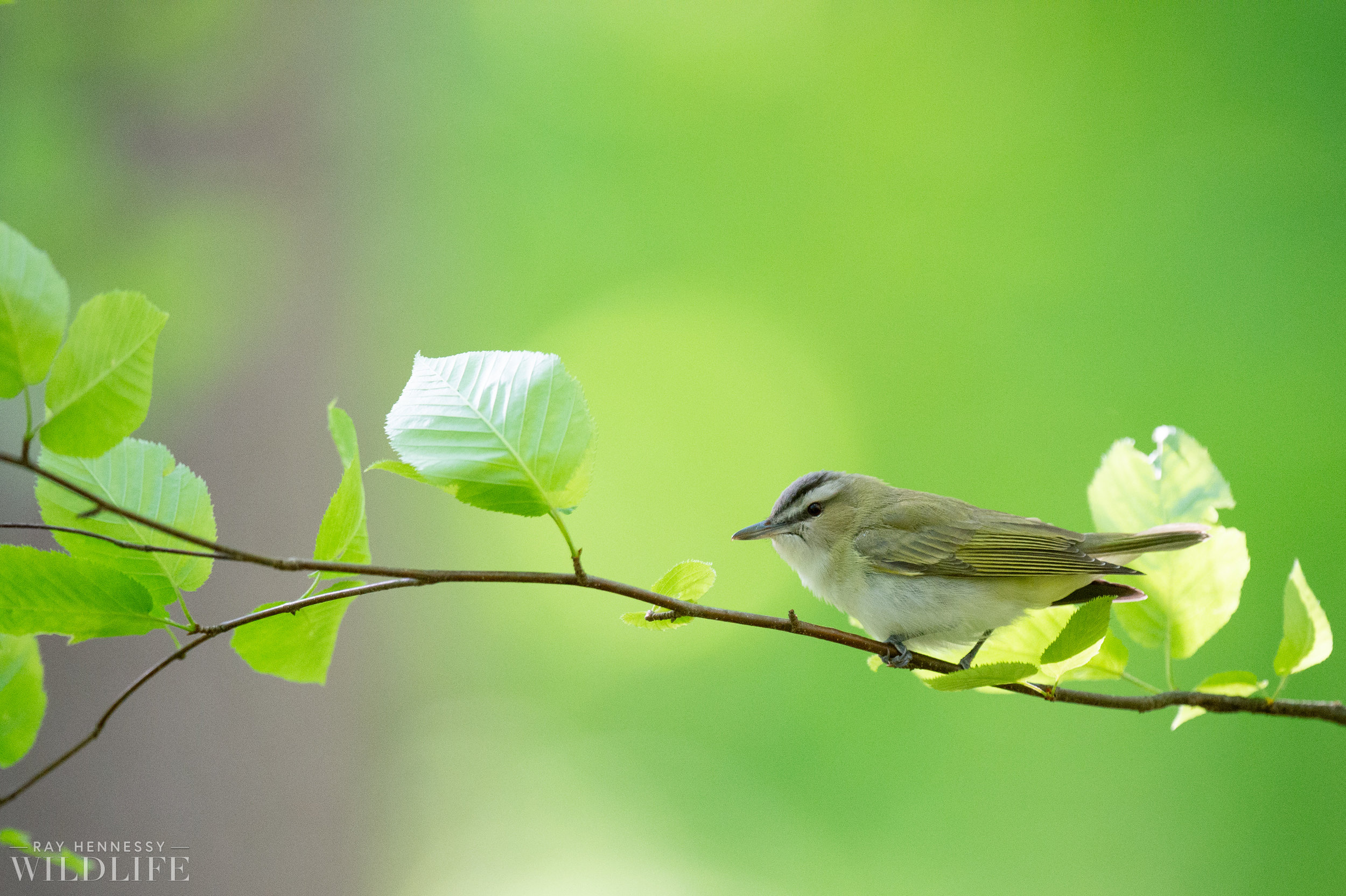 005_nothern-new-jersey-warblers.jpg