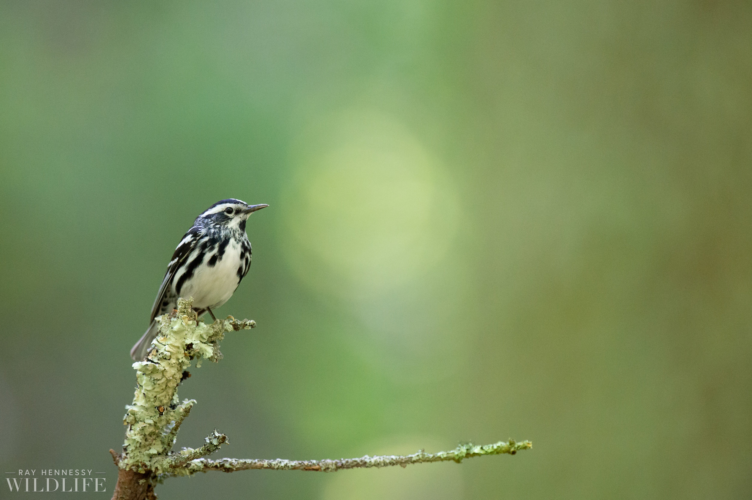 006_nothern-new-jersey-warblers.jpg