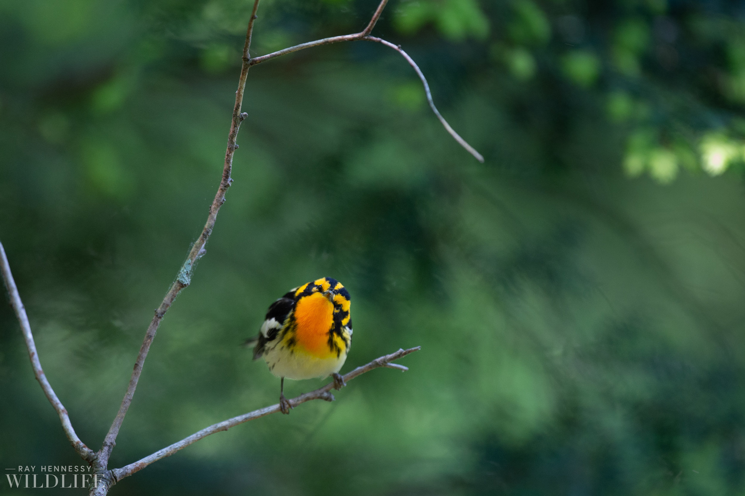 009_nothern-new-jersey-warblers.jpg