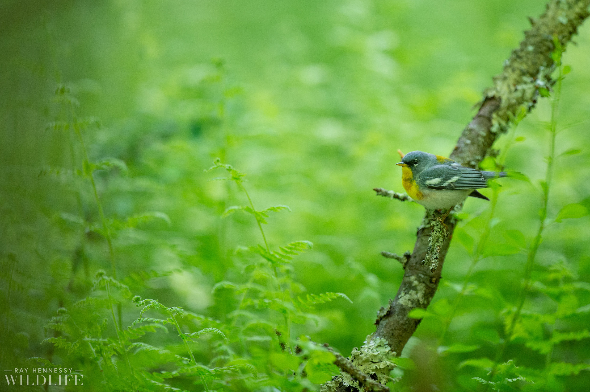 008_nothern-new-jersey-warblers.jpg