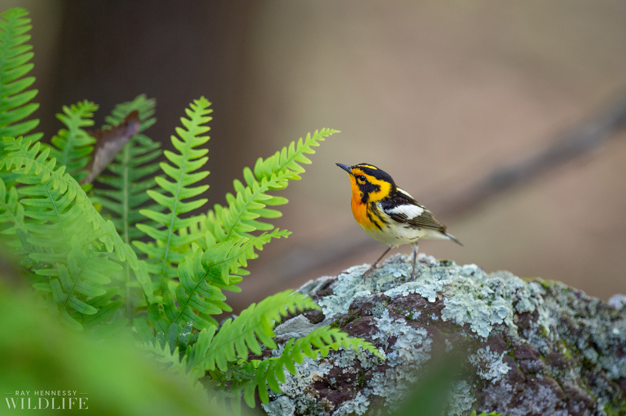 010_nothern-new-jersey-warblers.jpg