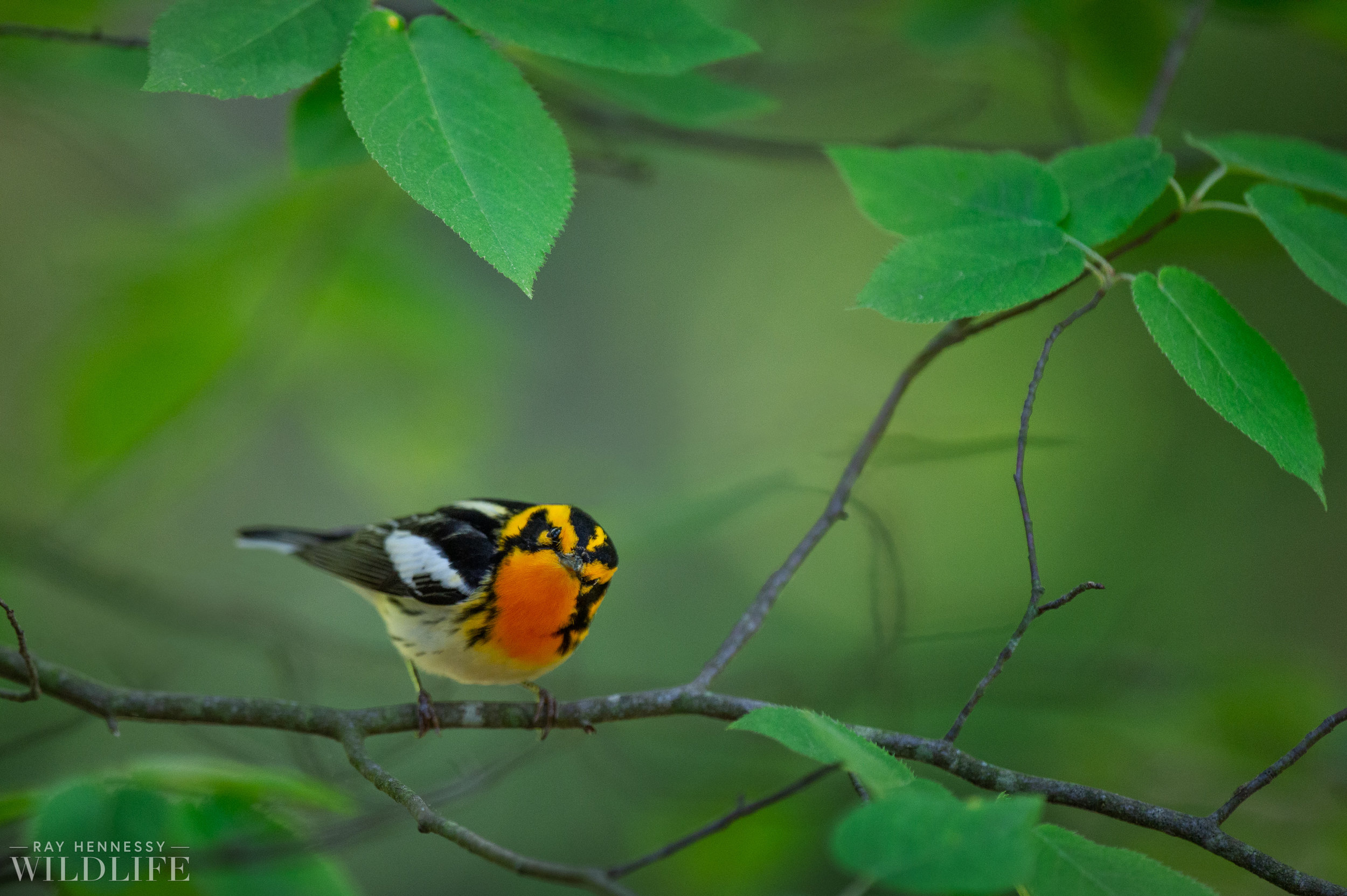011_nothern-new-jersey-warblers.jpg