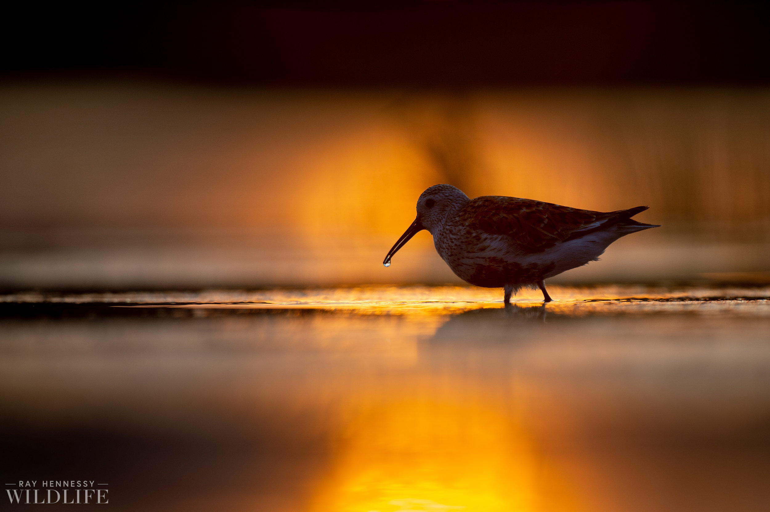002_shorebirds-prothonotary-warbler.jpg