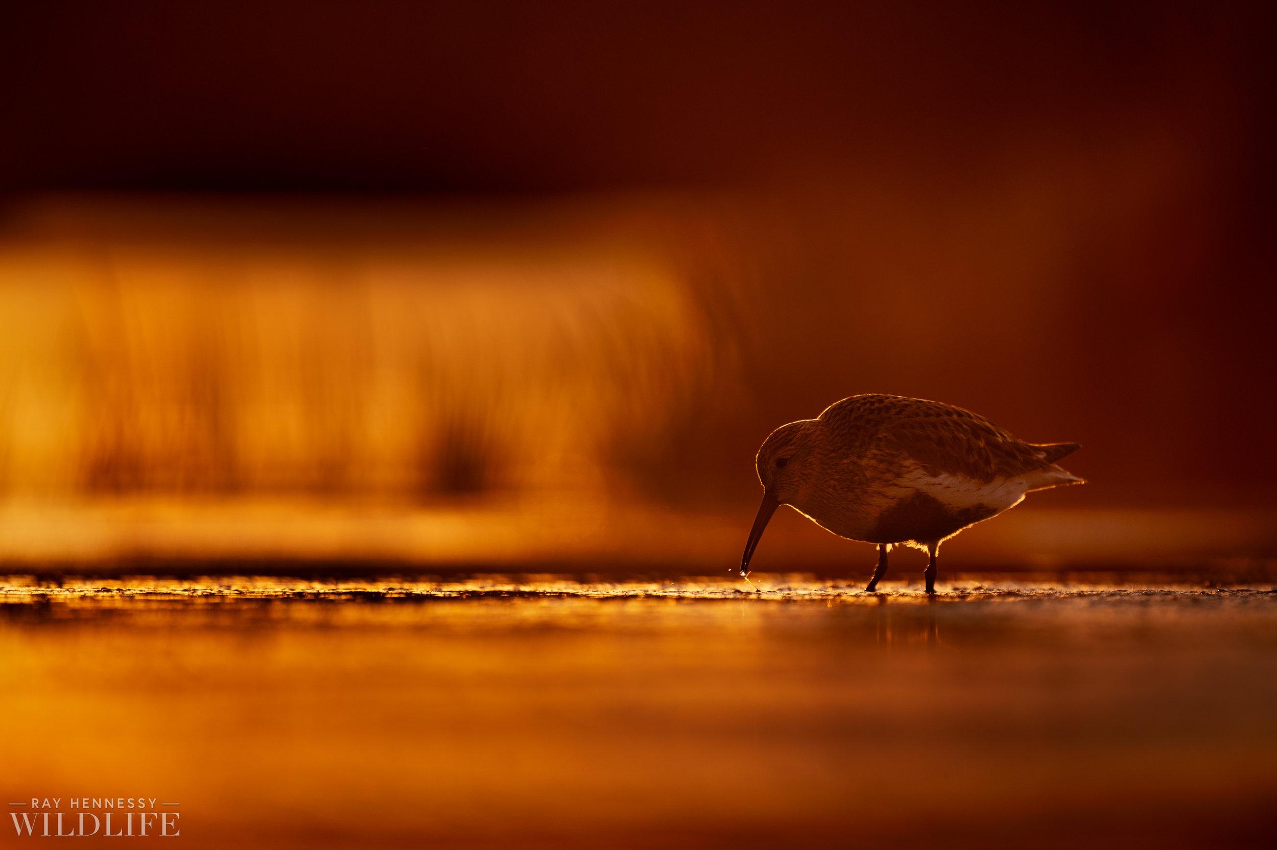 003_shorebirds-prothonotary-warbler.jpg