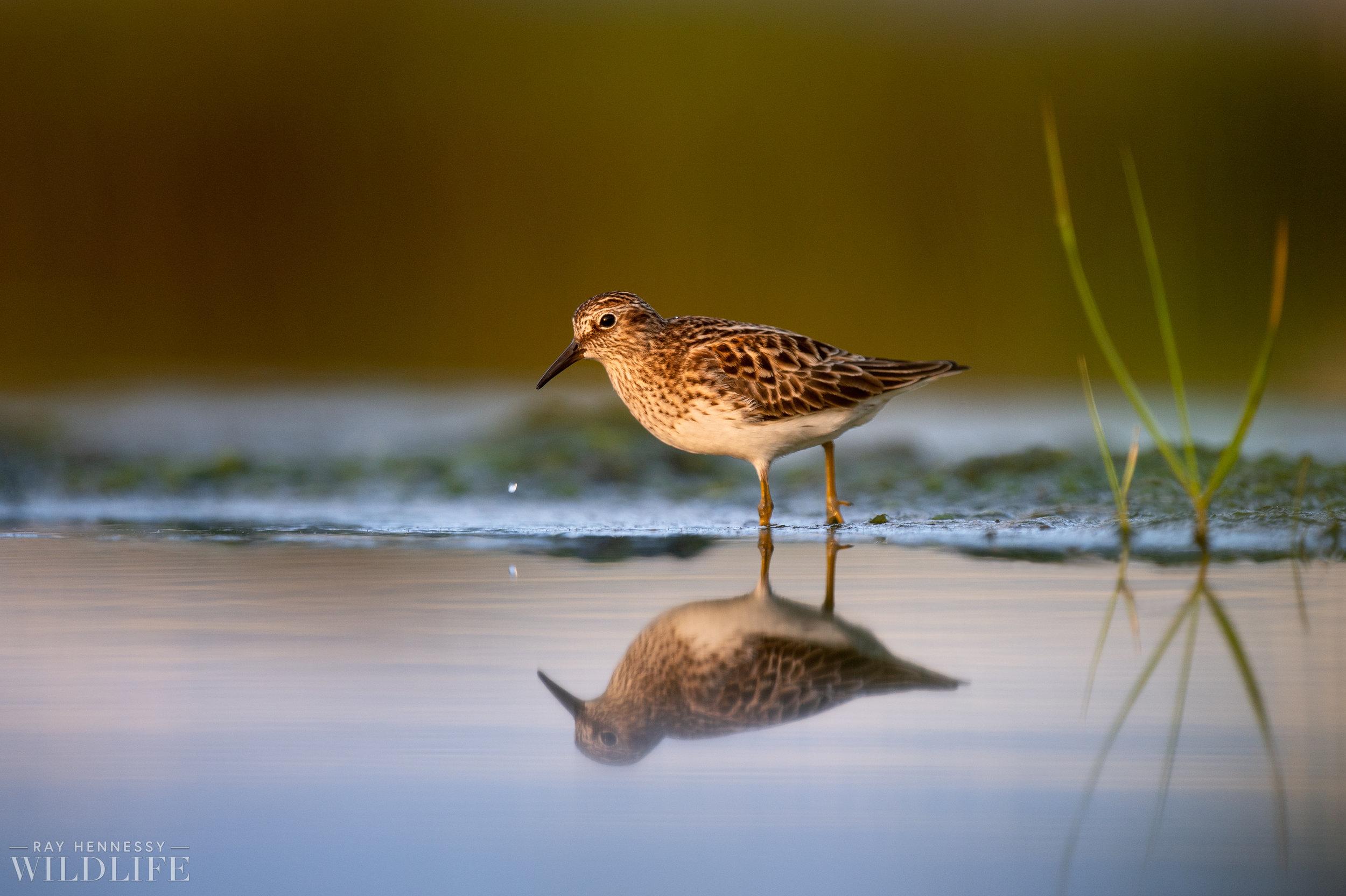 004_shorebirds-prothonotary-warbler.jpg