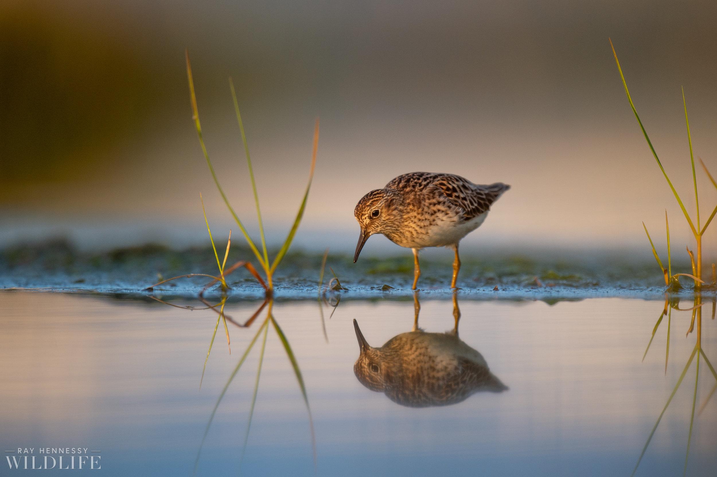 005_shorebirds-prothonotary-warbler.jpg
