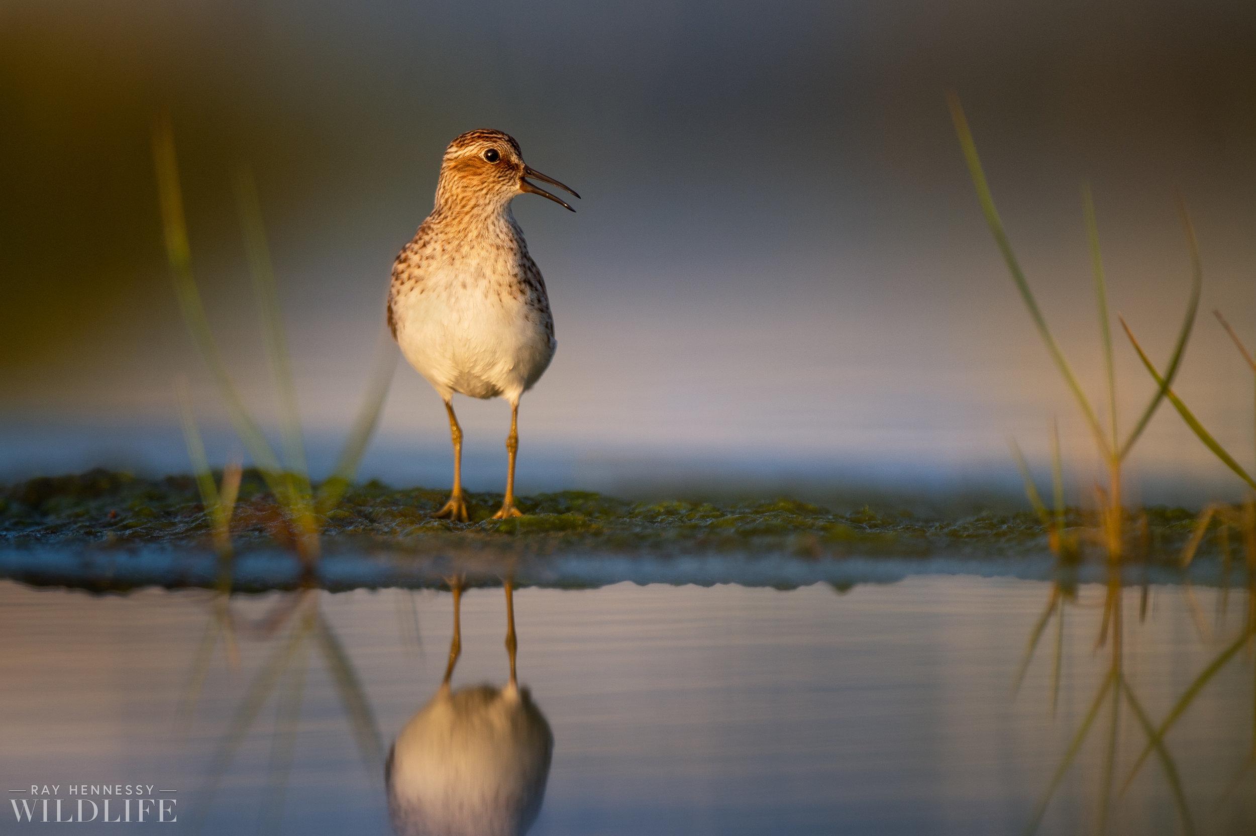 006_shorebirds-prothonotary-warbler.jpg