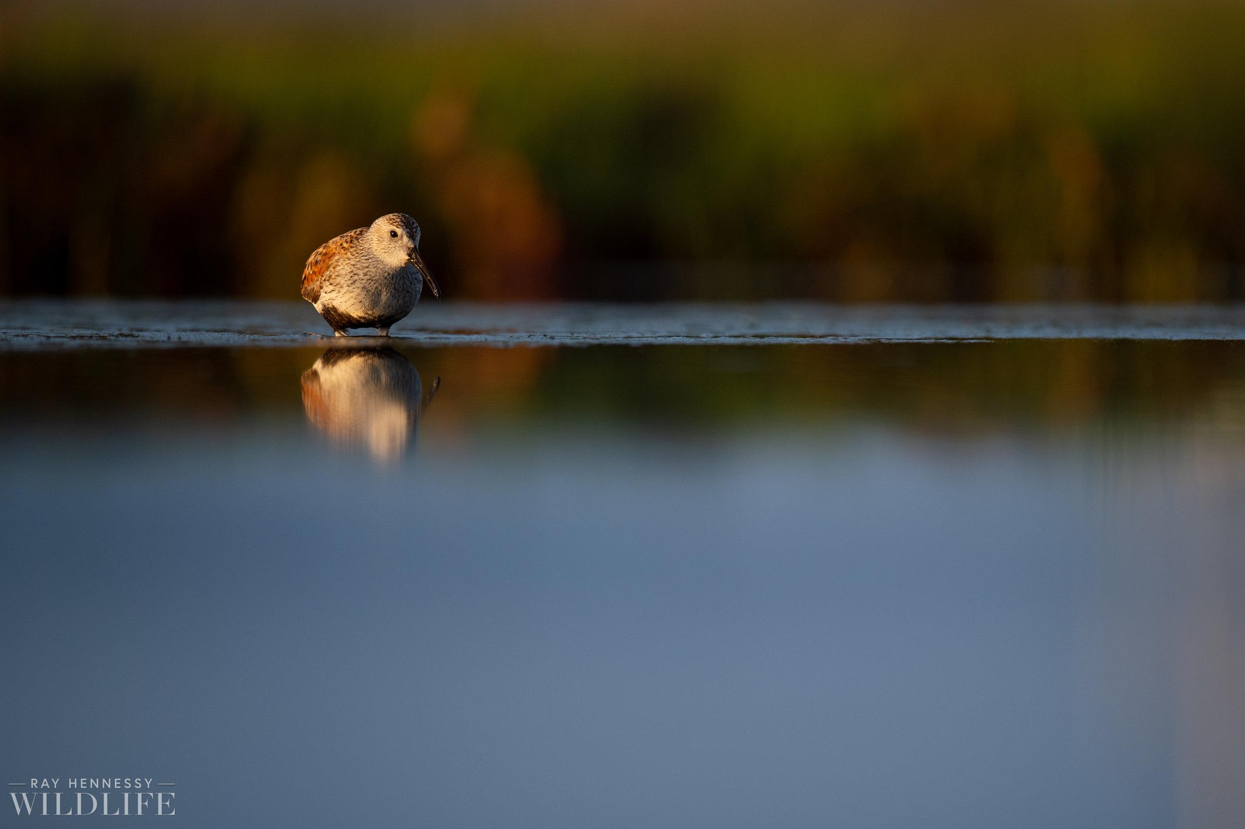 007_shorebirds-prothonotary-warbler.jpg