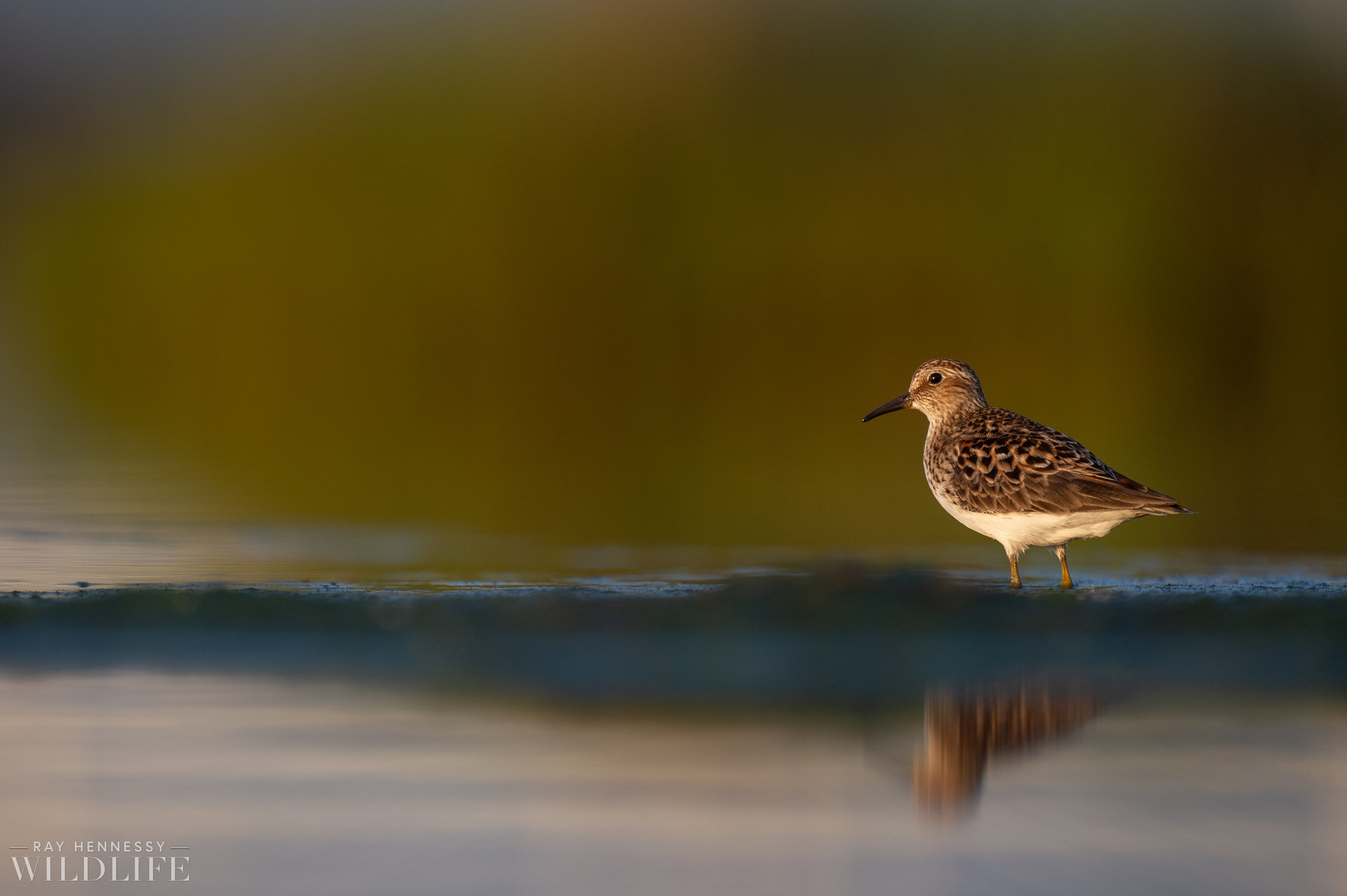 008_shorebirds-prothonotary-warbler.jpg