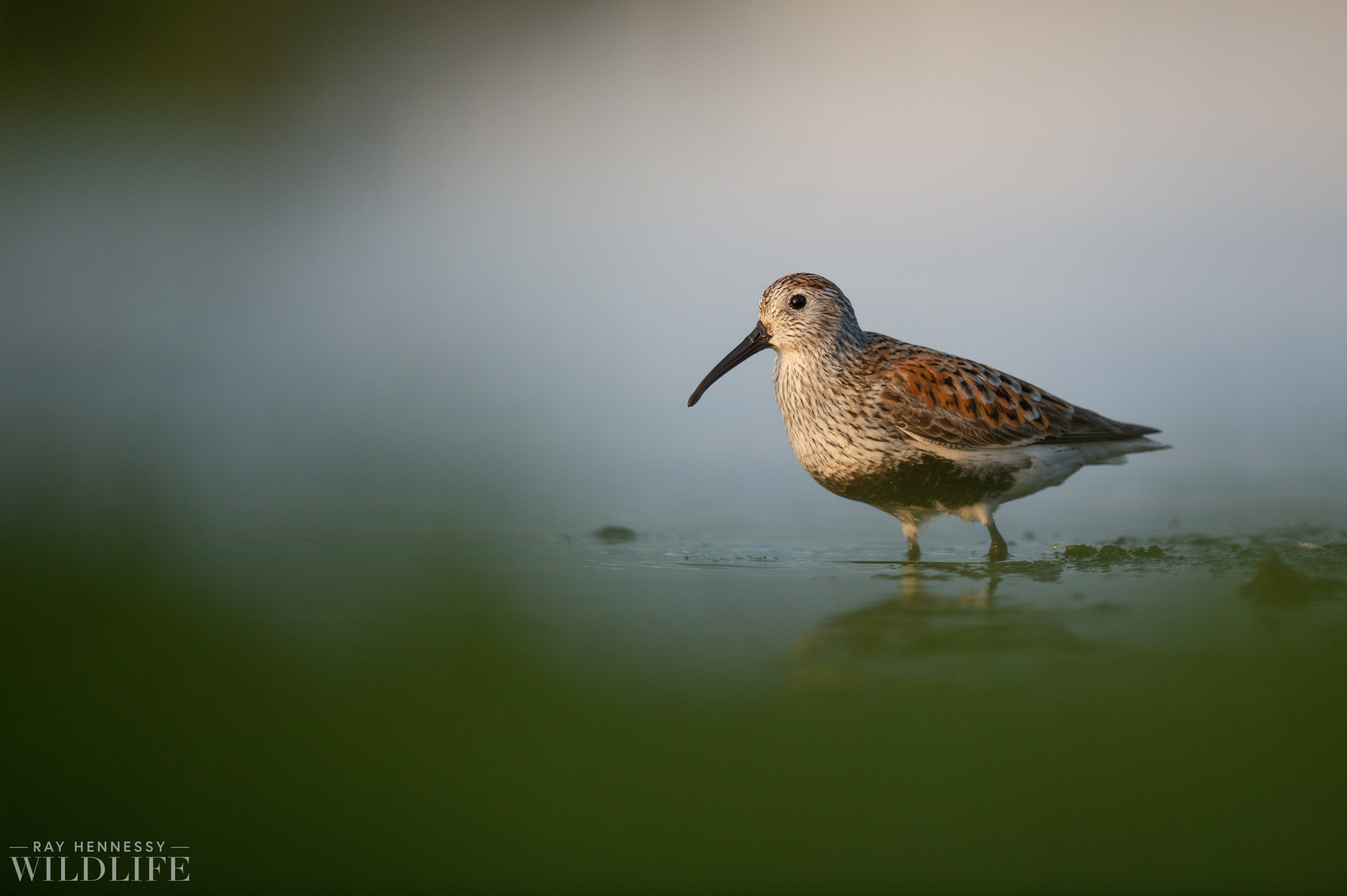 009_shorebirds-prothonotary-warbler.jpg