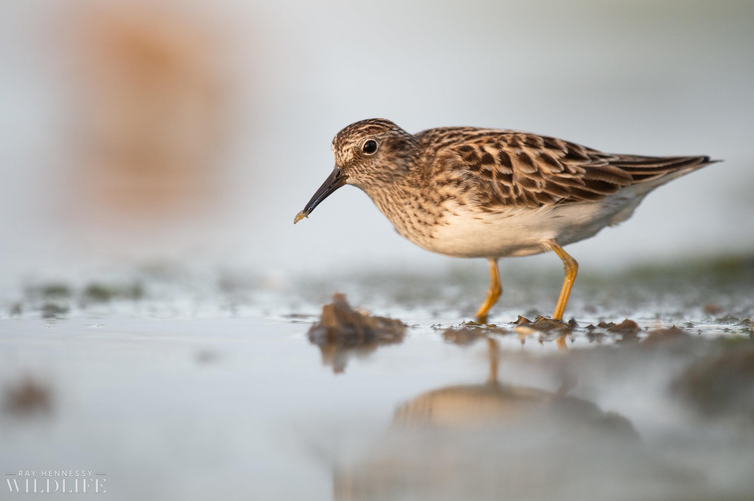 010_shorebirds-prothonotary-warbler.jpg