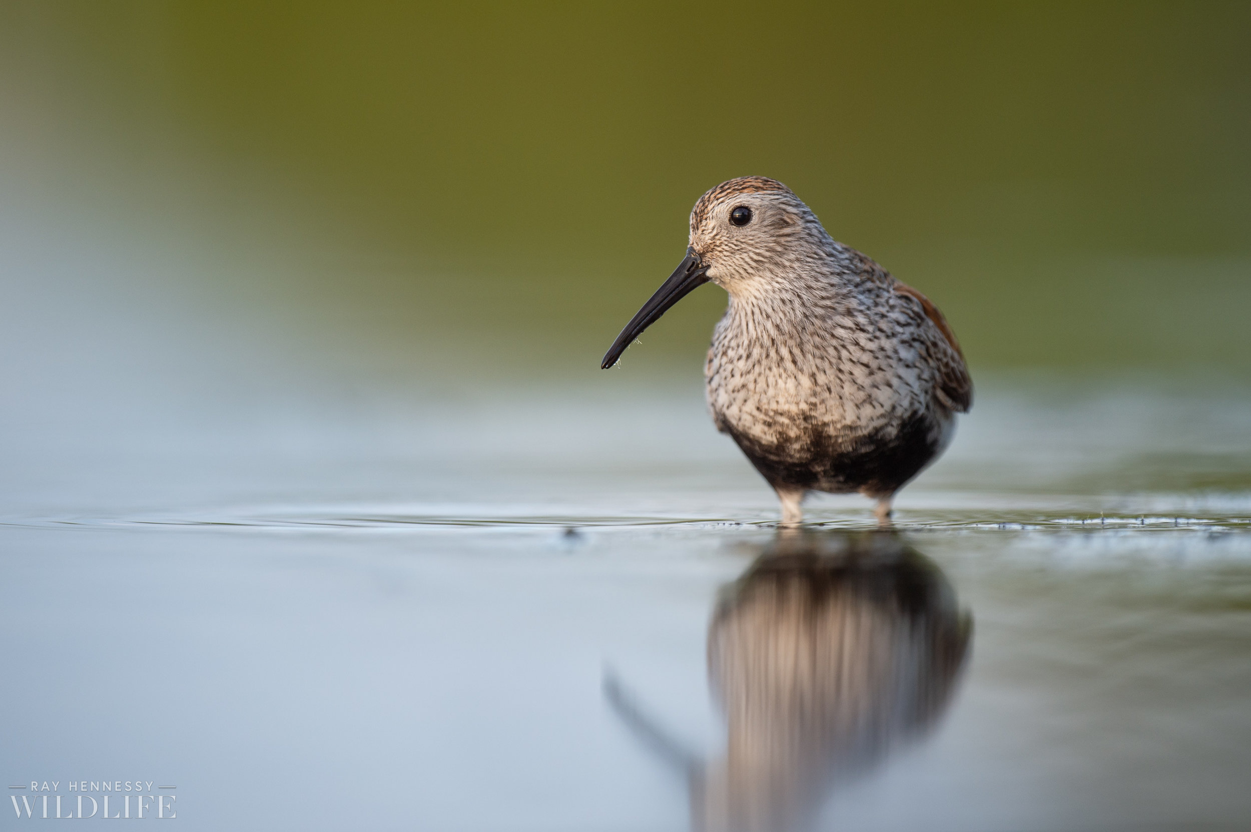011_shorebirds-prothonotary-warbler.jpg