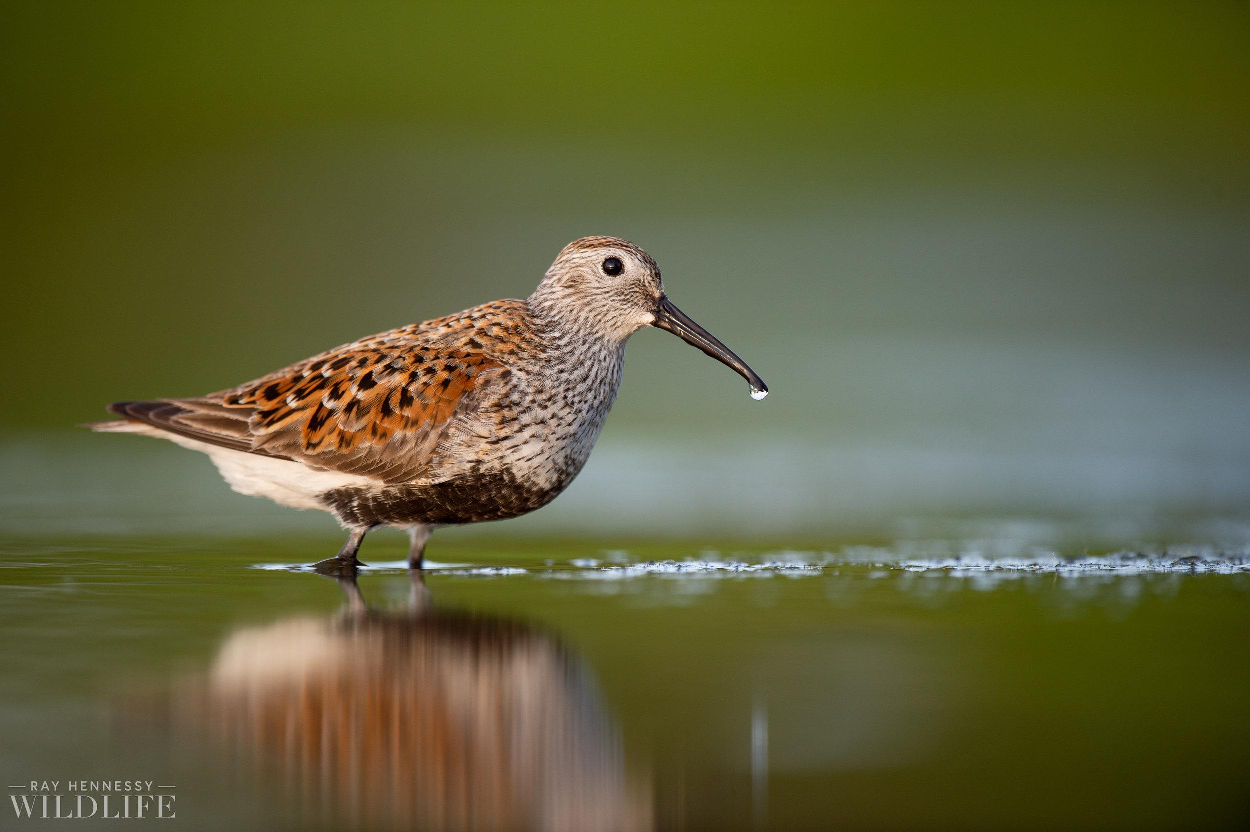012_shorebirds-prothonotary-warbler.jpg