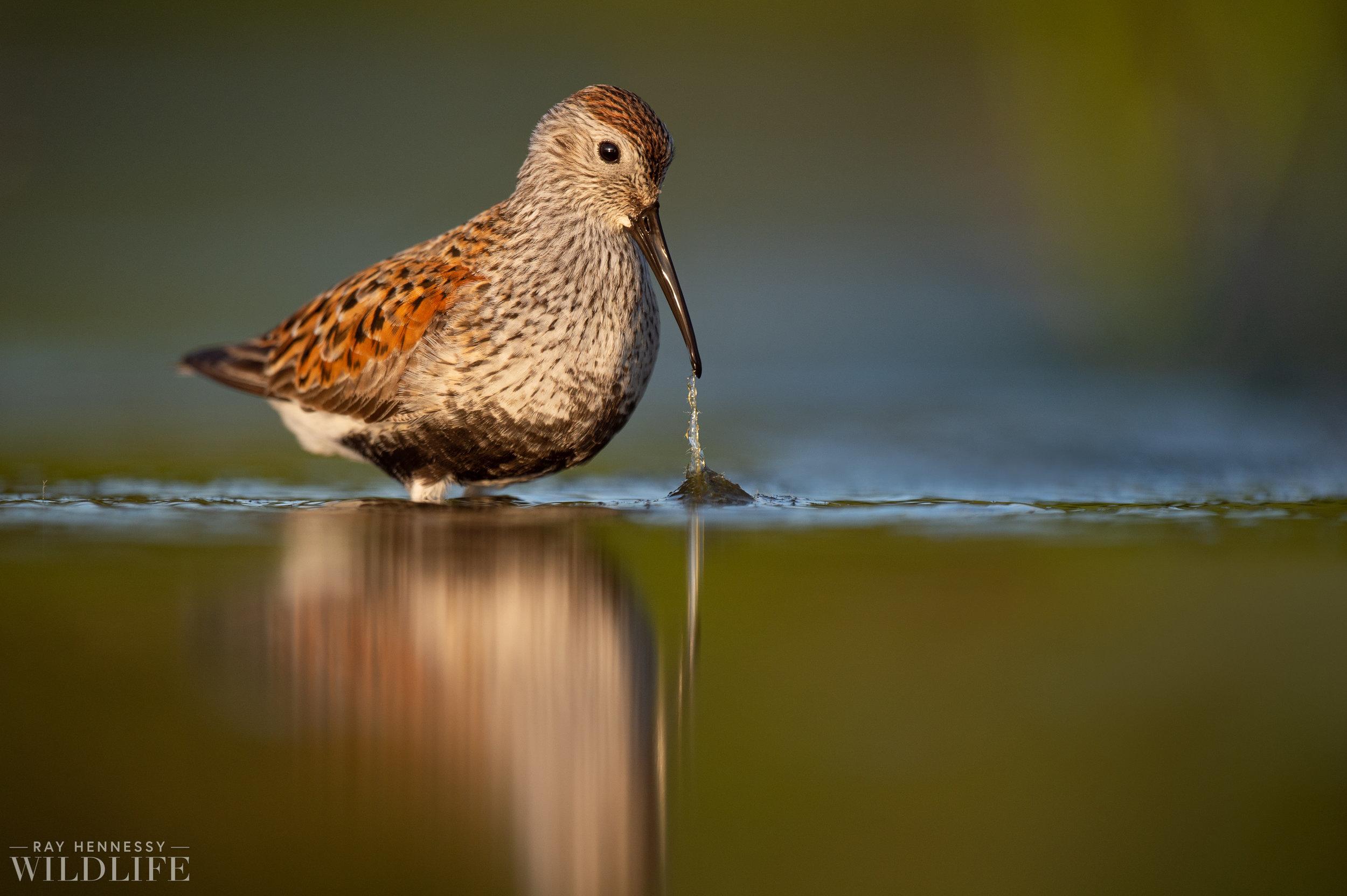 013_shorebirds-prothonotary-warbler.jpg
