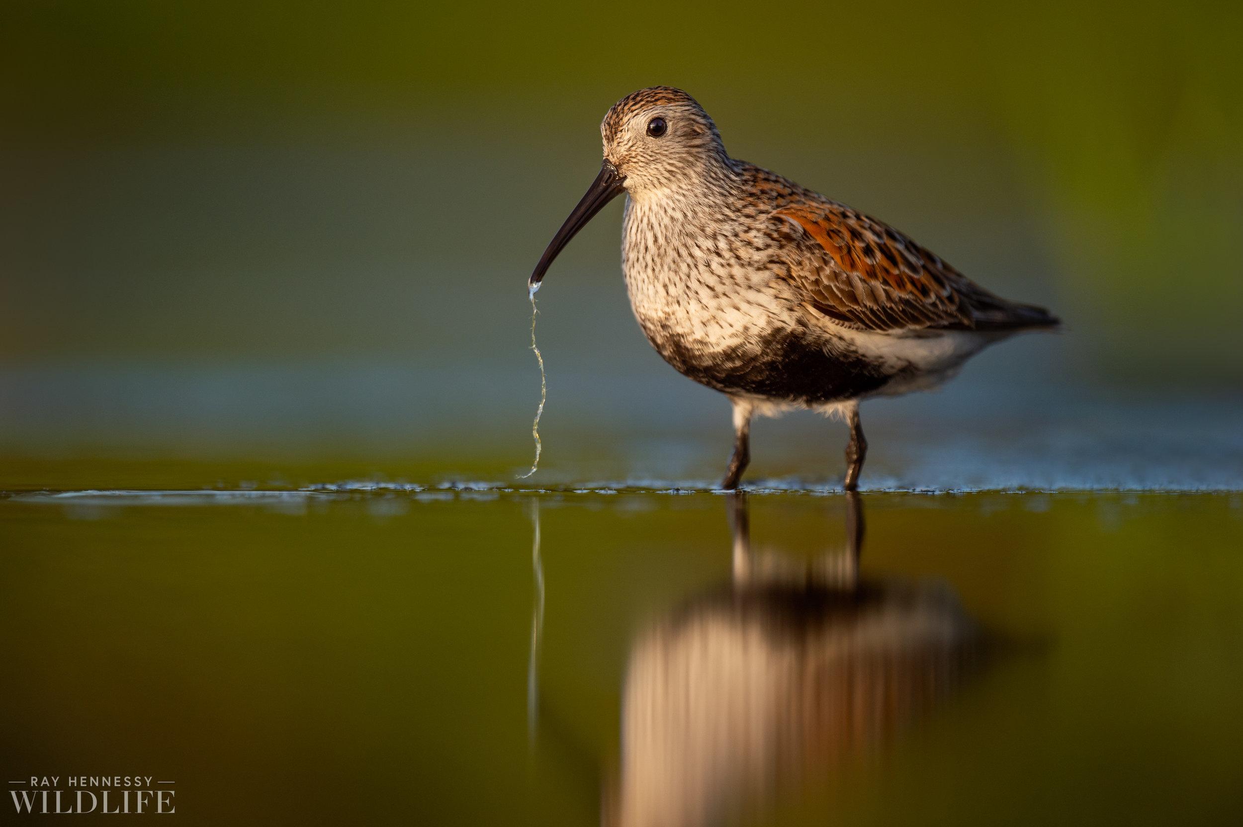 014_shorebirds-prothonotary-warbler.jpg