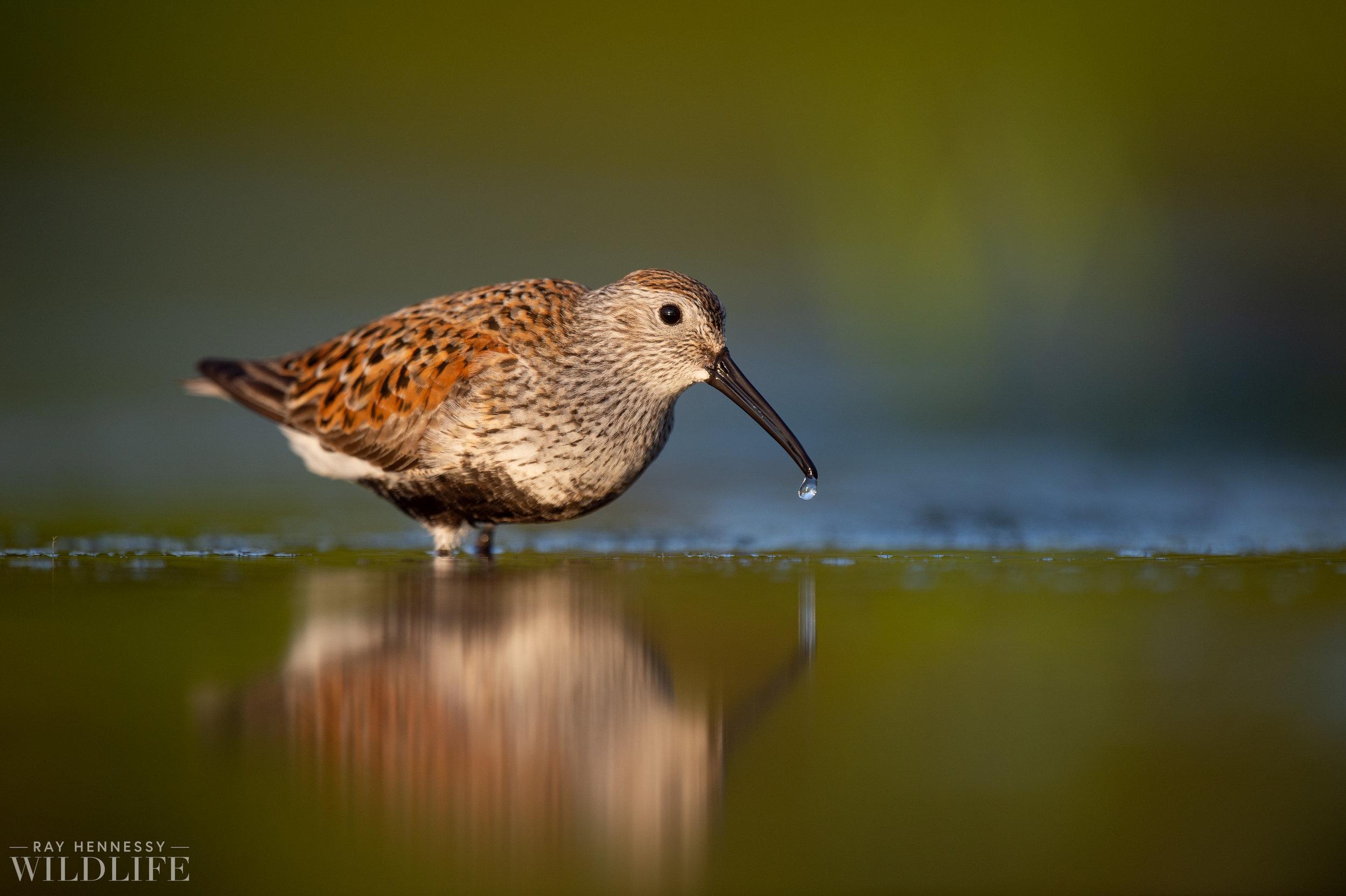 015_shorebirds-prothonotary-warbler.jpg