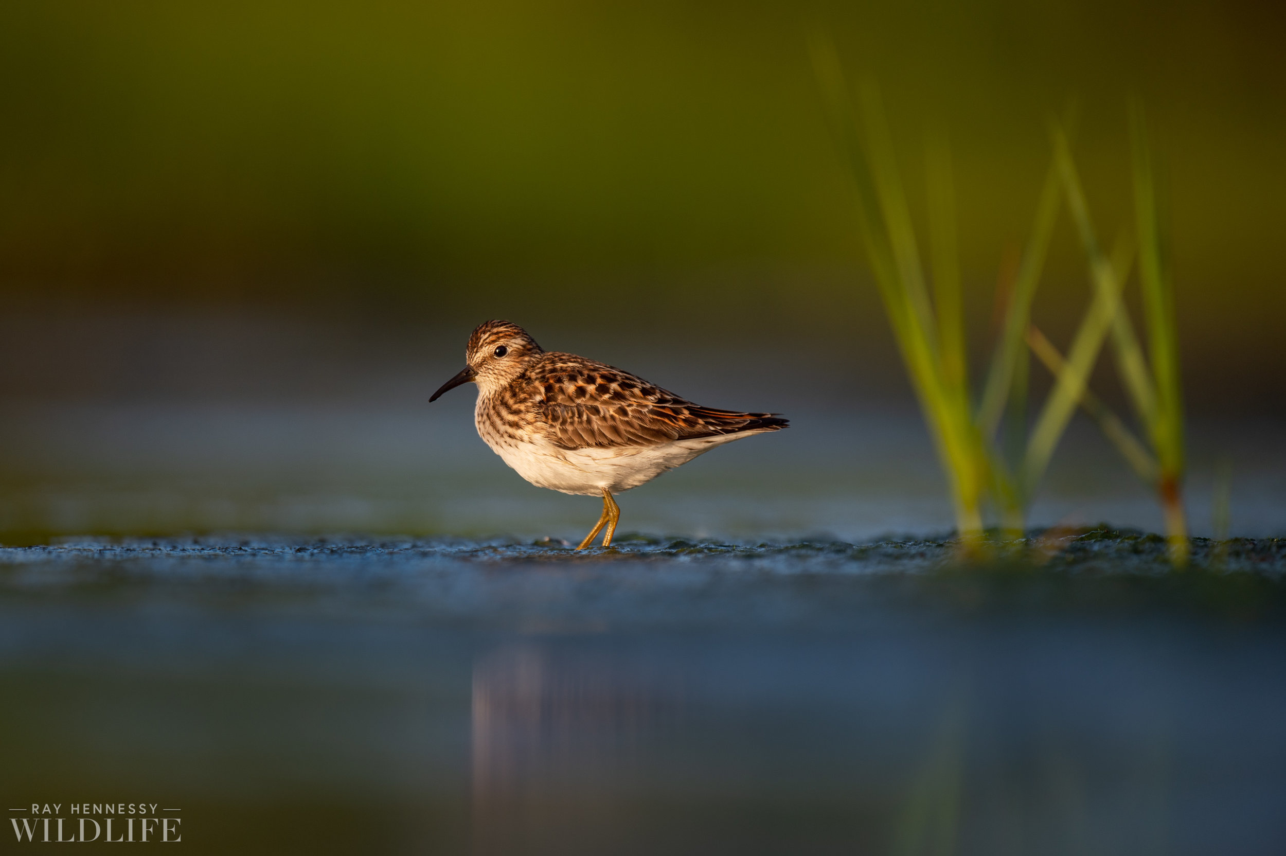 017_shorebirds-prothonotary-warbler.jpg