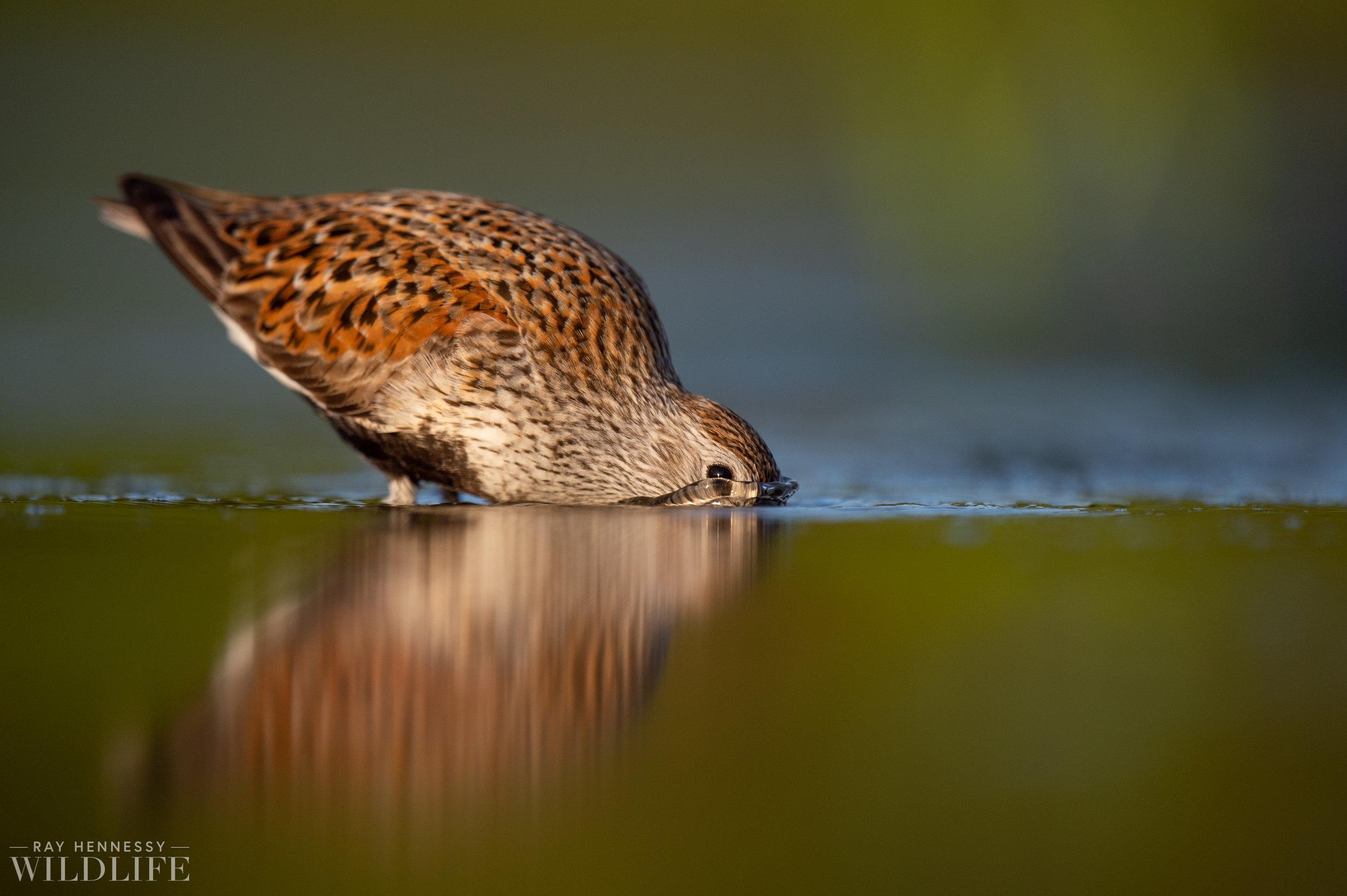 016_shorebirds-prothonotary-warbler.jpg