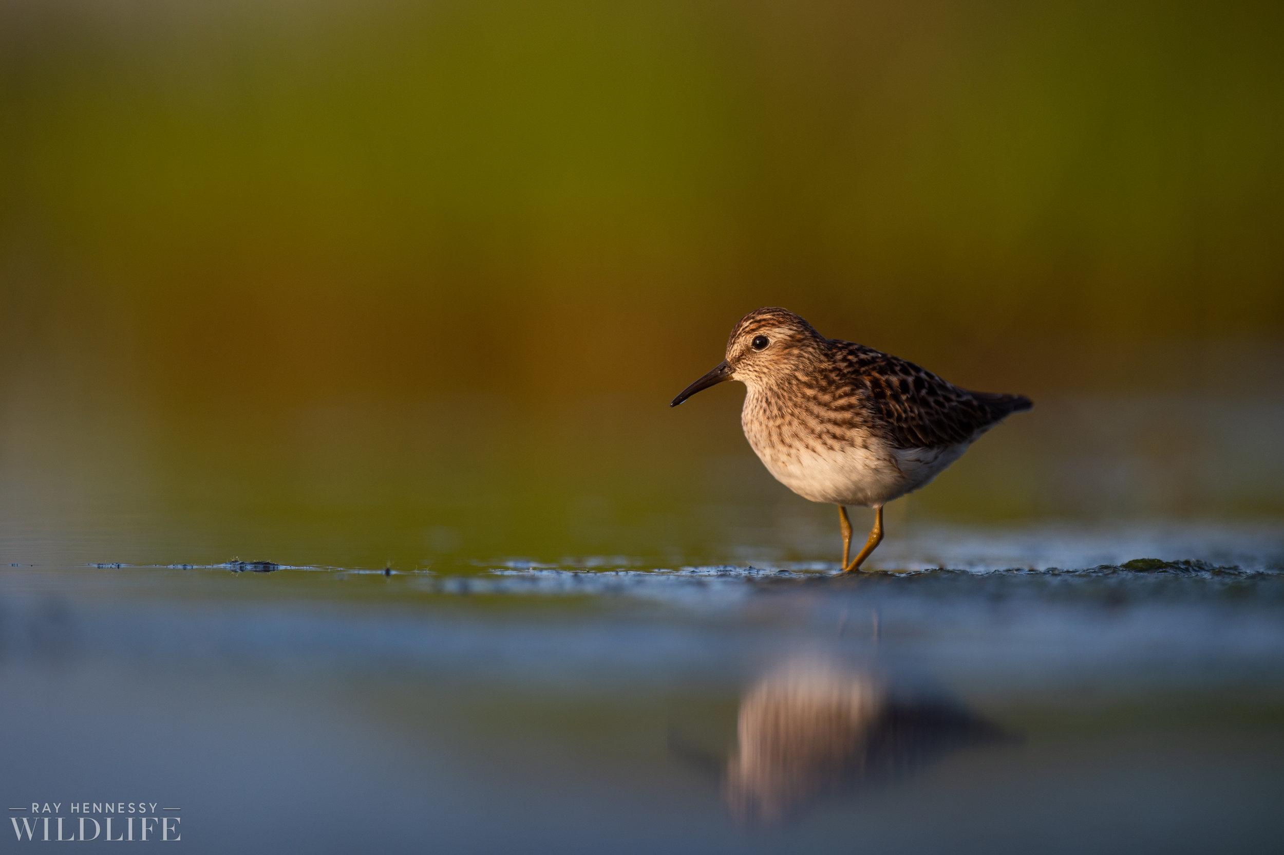 018_shorebirds-prothonotary-warbler.jpg