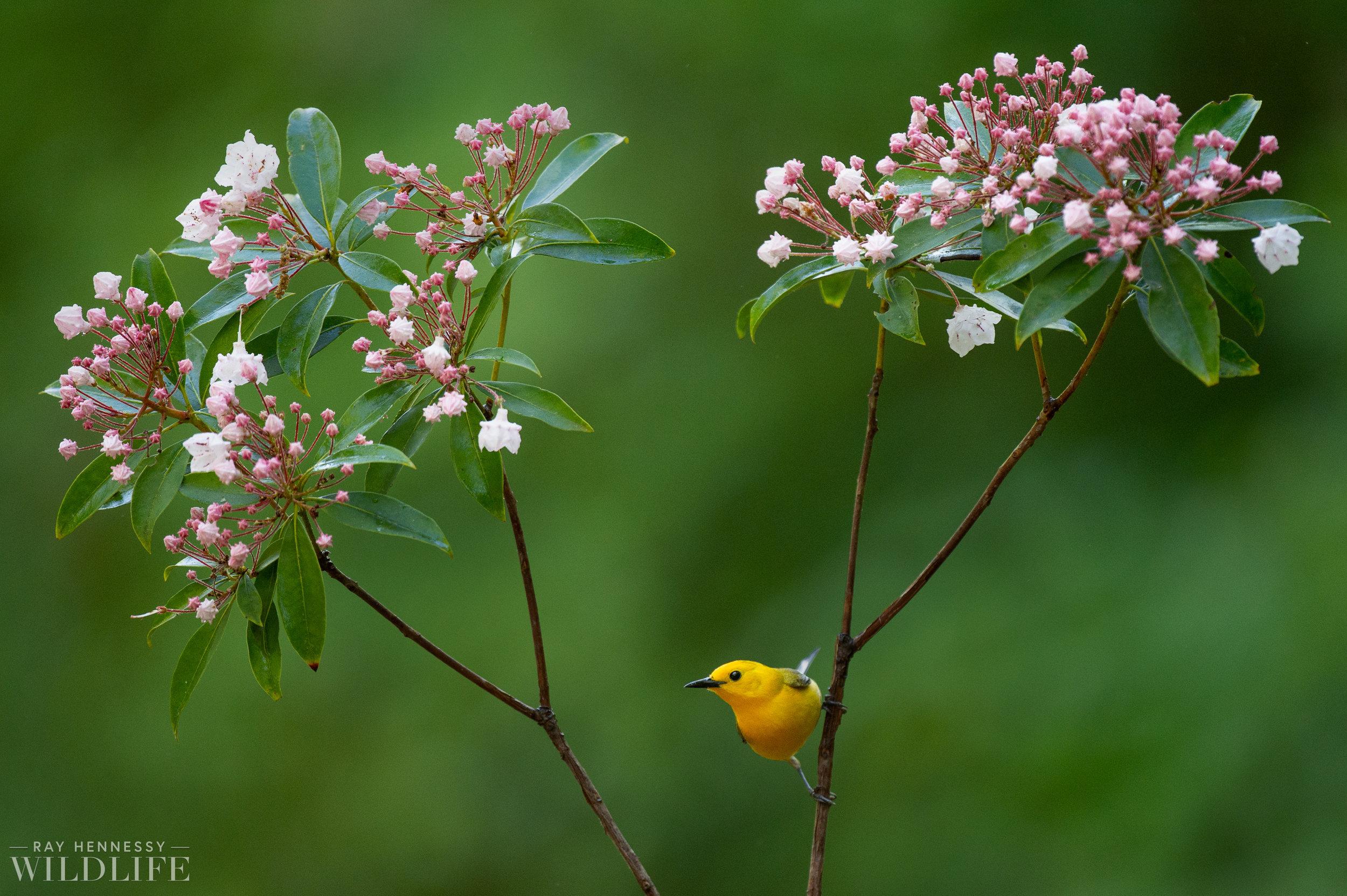 019_shorebirds-prothonotary-warbler.jpg