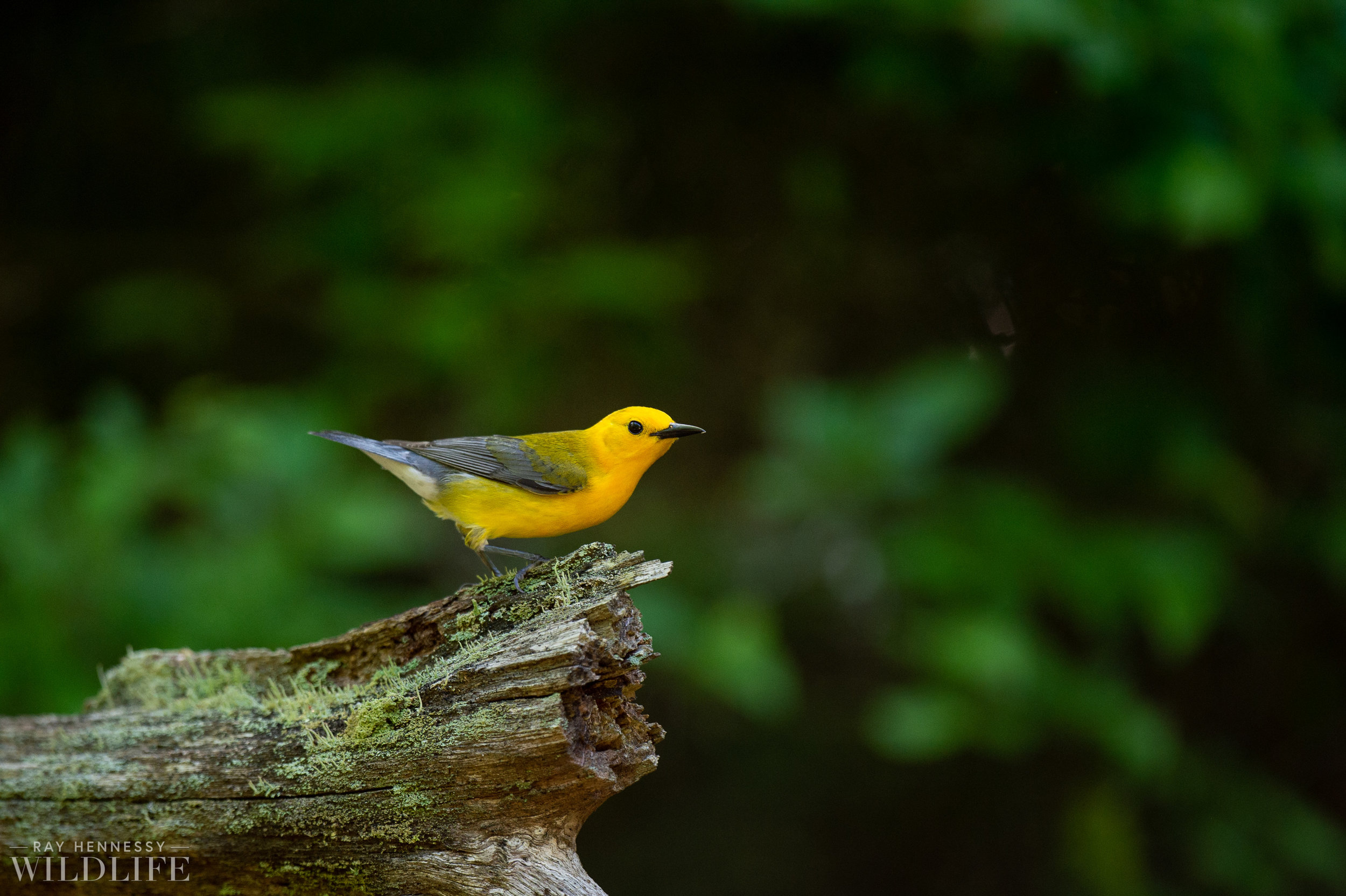 020_shorebirds-prothonotary-warbler.jpg