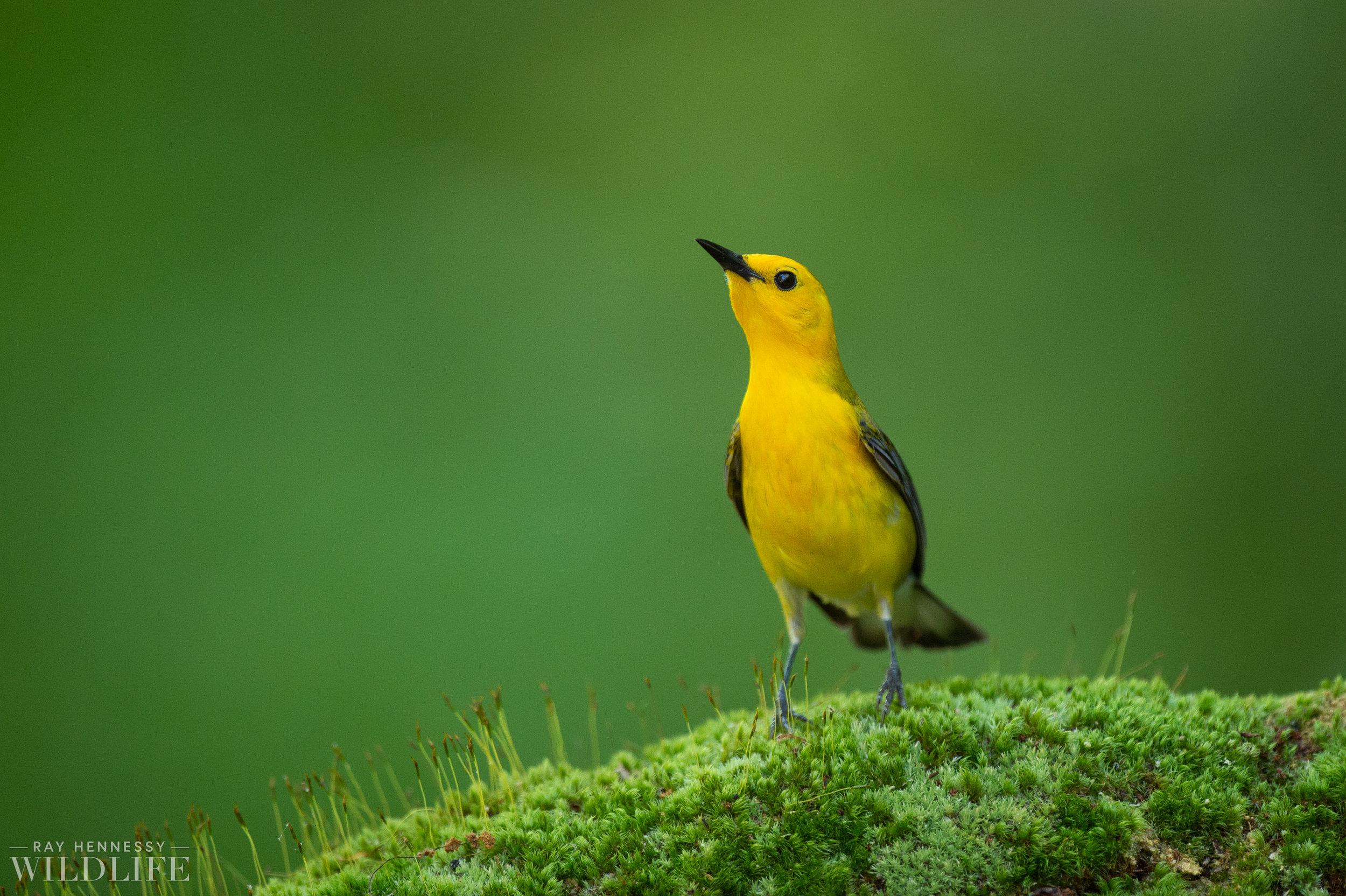 022_shorebirds-prothonotary-warbler.jpg