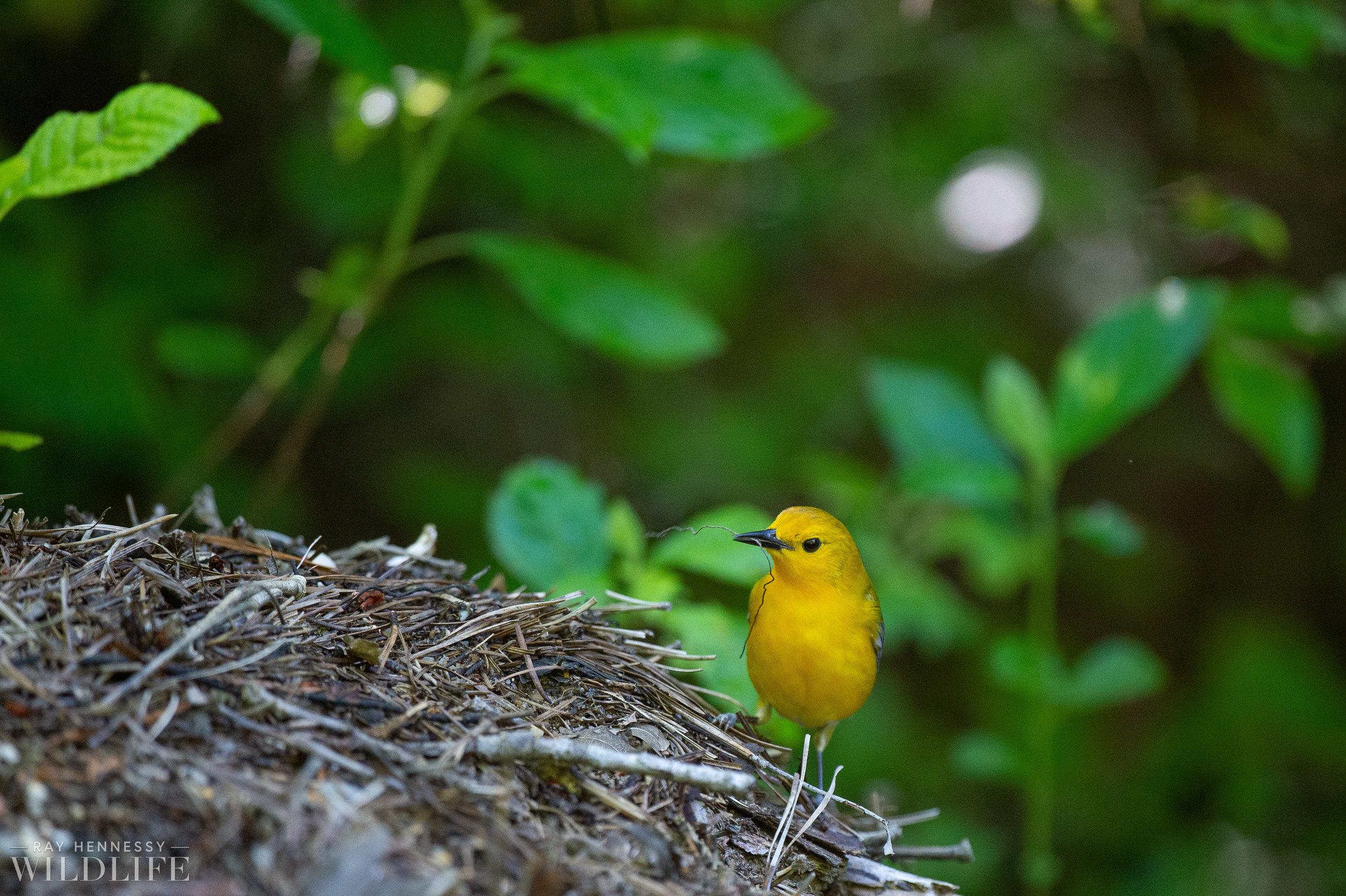 021_shorebirds-prothonotary-warbler.jpg