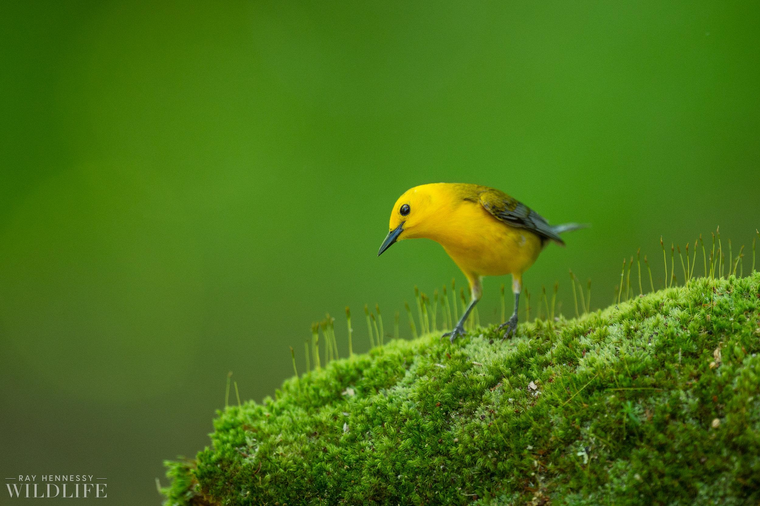 023_shorebirds-prothonotary-warbler.jpg