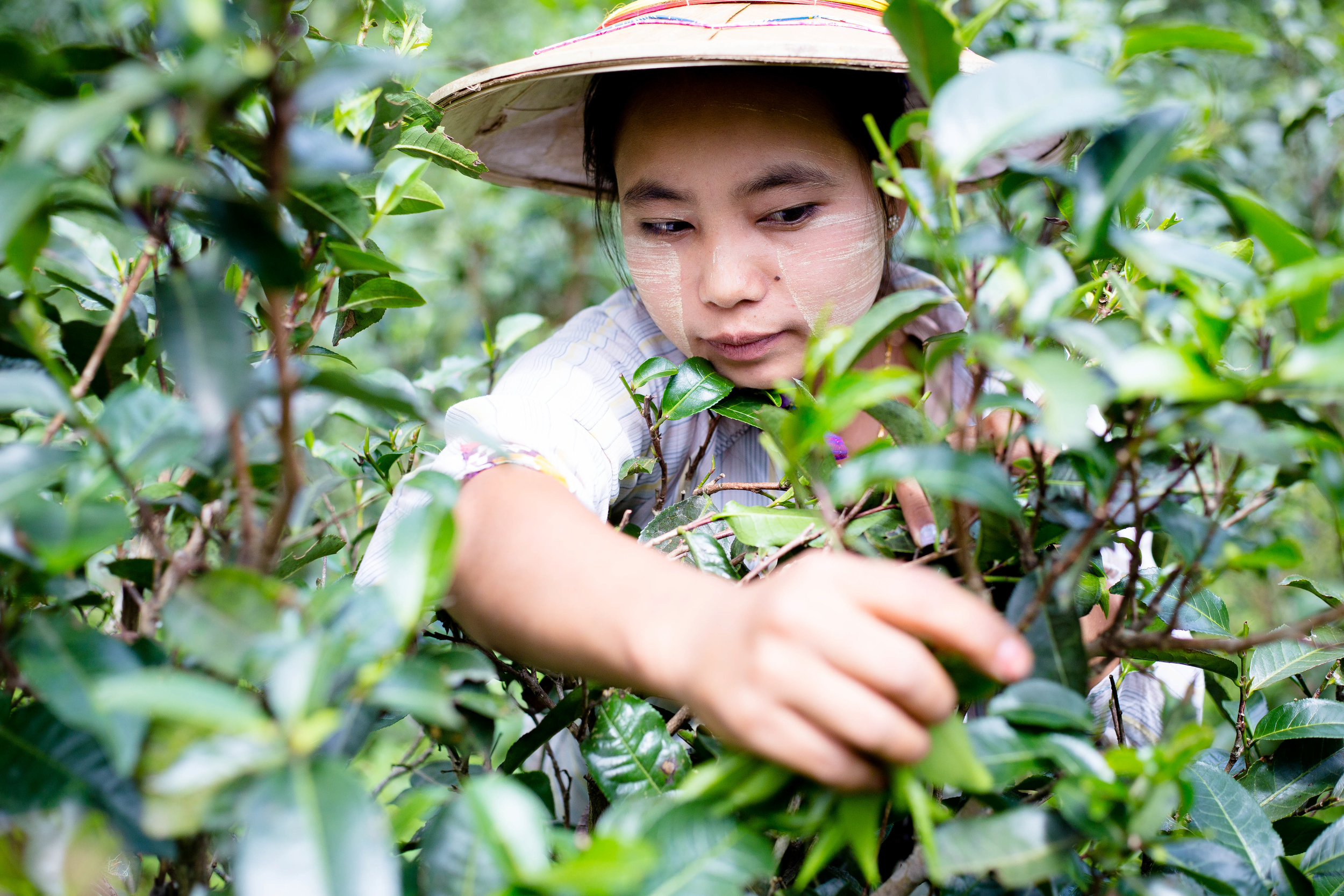 Because of the remote location of the tea plantation, lack of technology and equipment, tea is still being hand picked by labor. Photo by Ann Wang