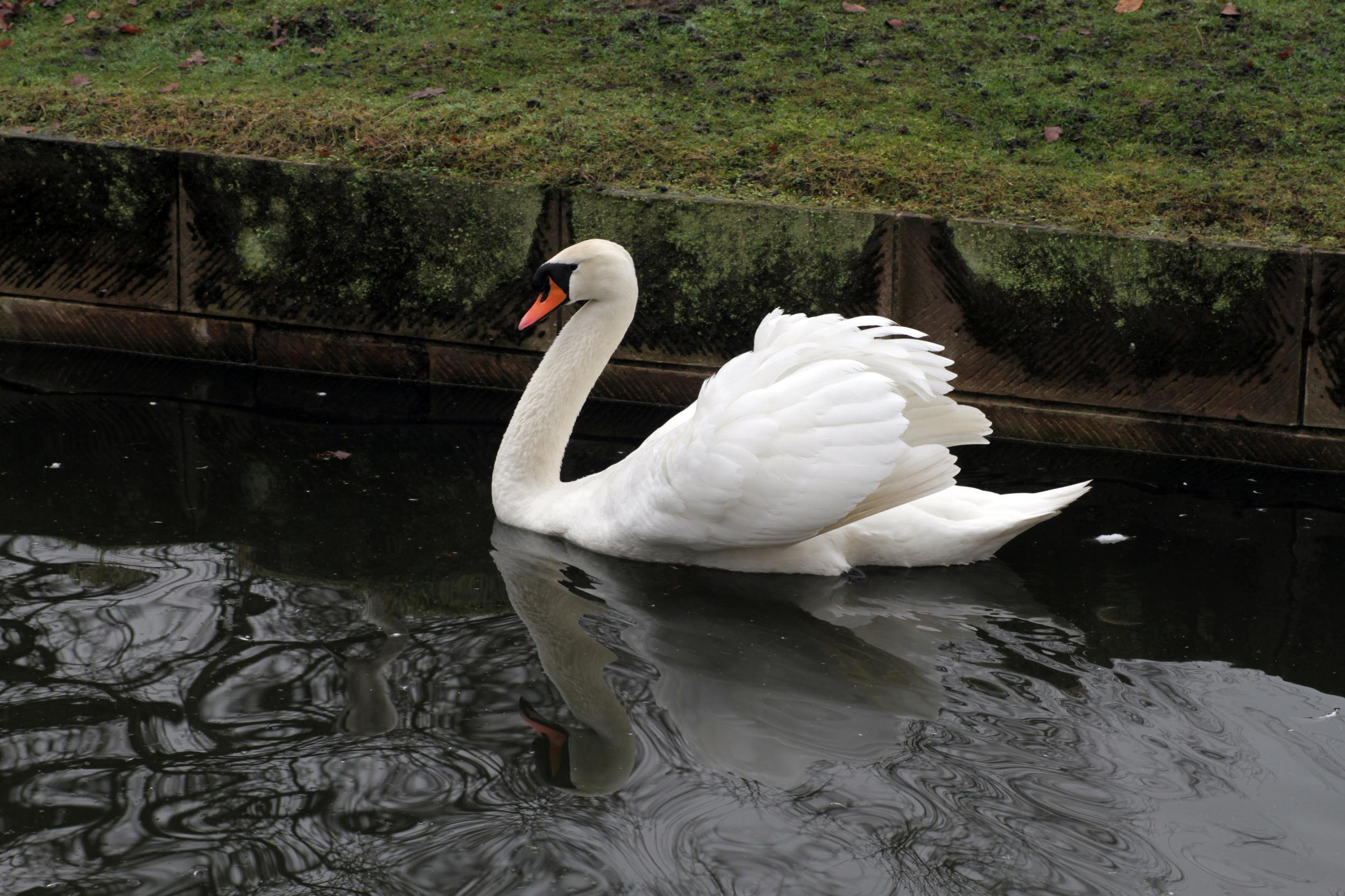 Swan a-swimming