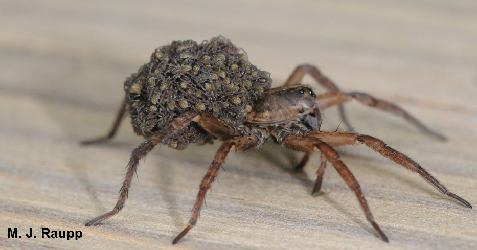 Notice the tiny spiderlings riding on the back of their mother, a rabid wolf spider.