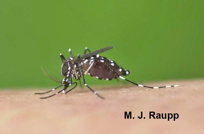 Yikes! This Asian tiger mosquito better pull out before it explodes.