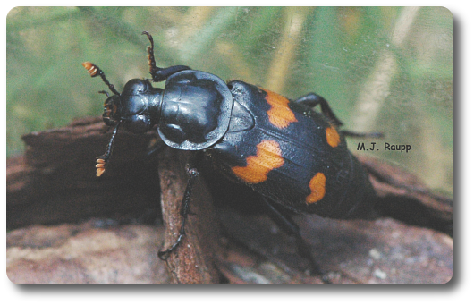 This unidentified Nicrophorus species could not resist the smell of dead things in the Japanese beetle trap.