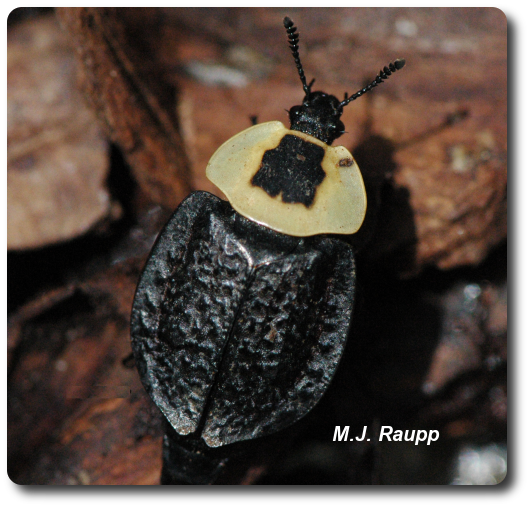 The American carrion beetle emits an awful smell from its rear end when frightened.